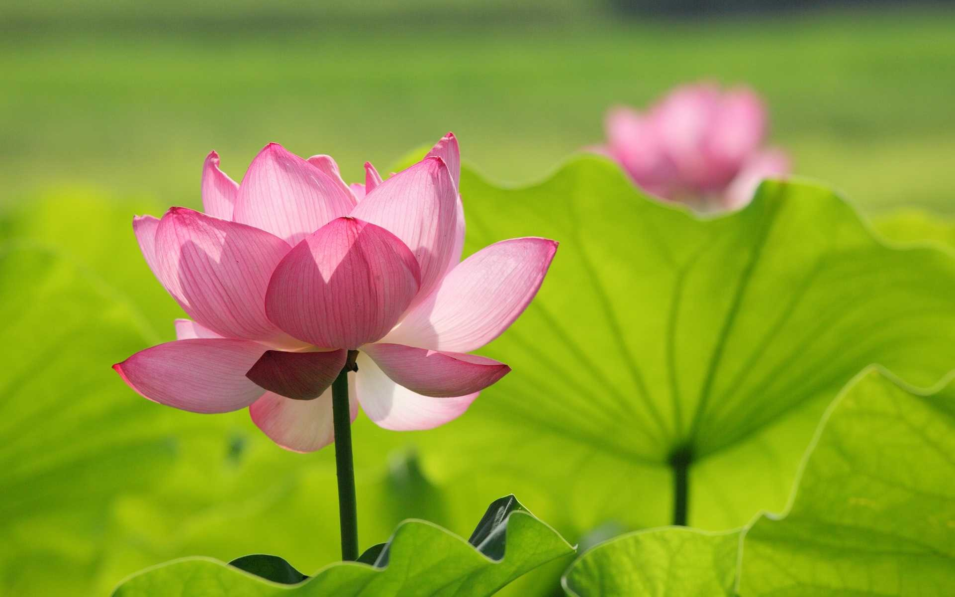 Lotus Flower Wallpapers 67 Background Pictures