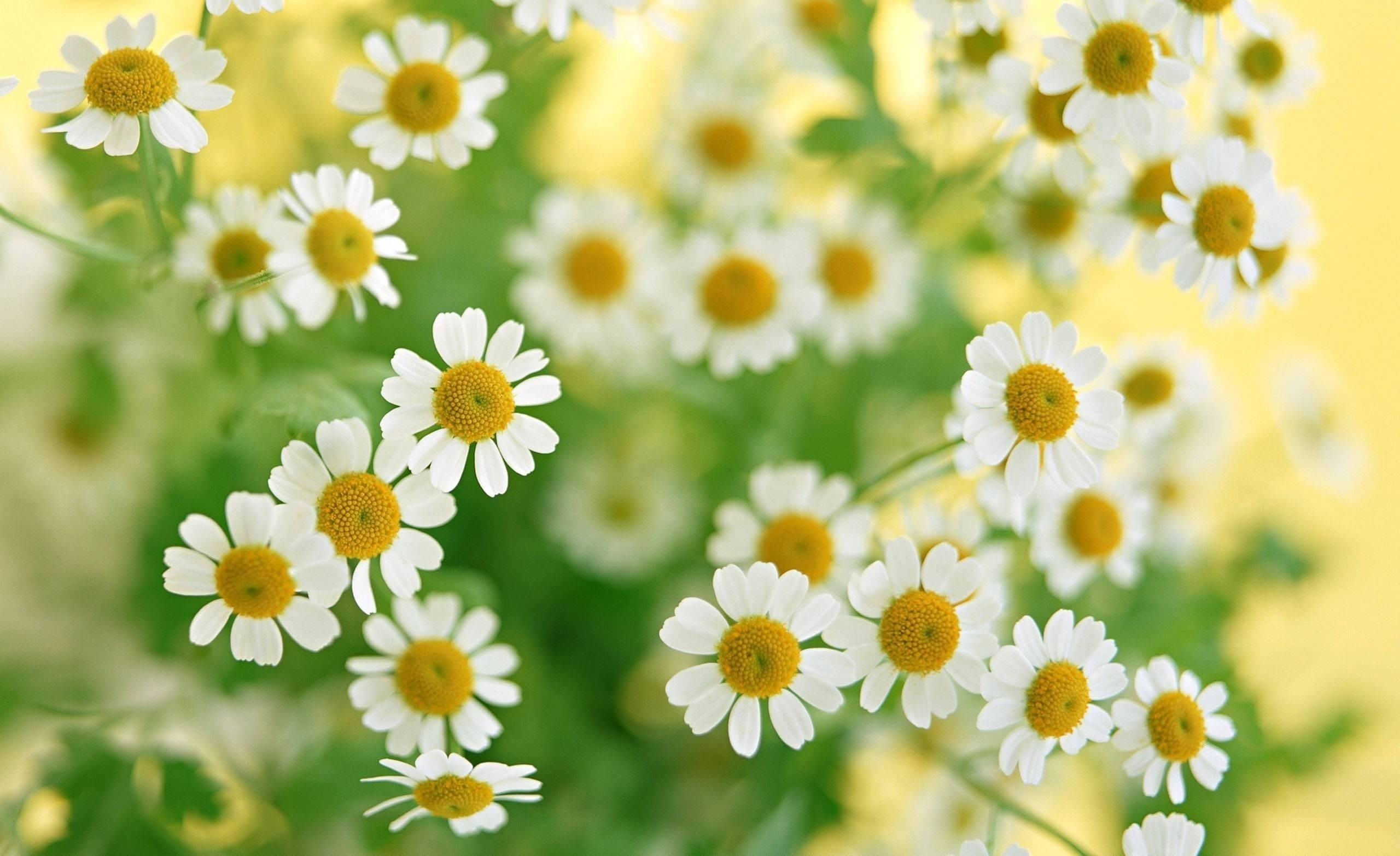 Daisy wallpapers background 79 background pictures 1920x1200 yellow daisies backgrounds 1920x1200 izmirmasajfo