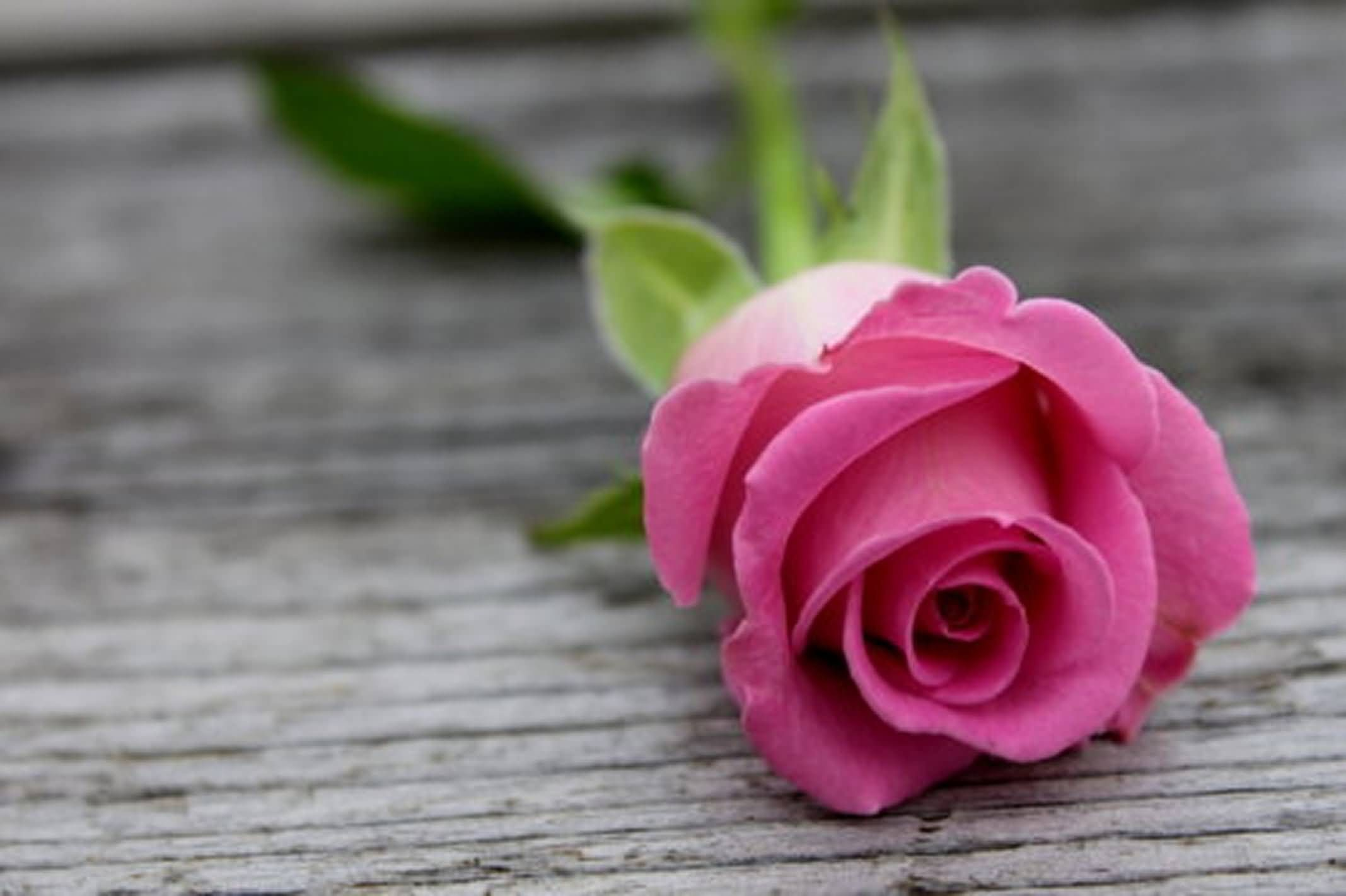 Pink Roses Wallpapers 63 Background Pictures