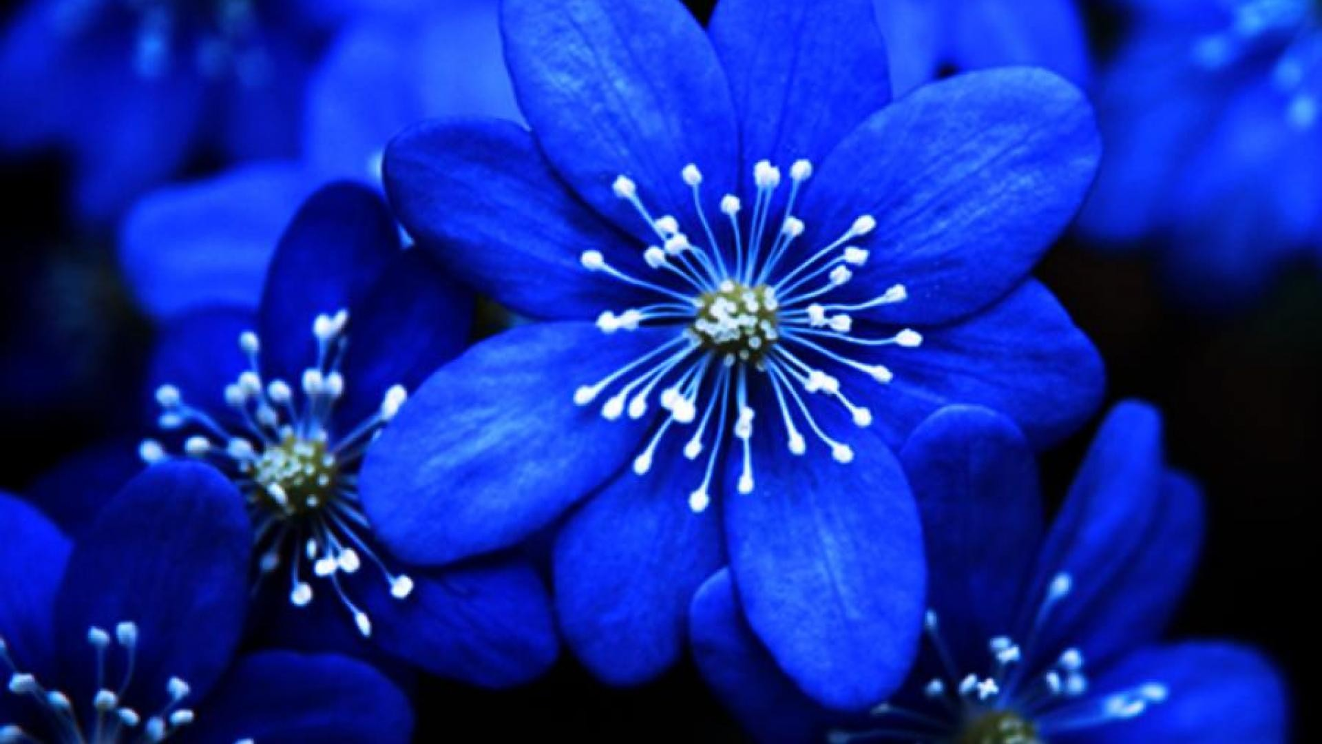 Blue Flowers Wallpapers 67 Background Pictures