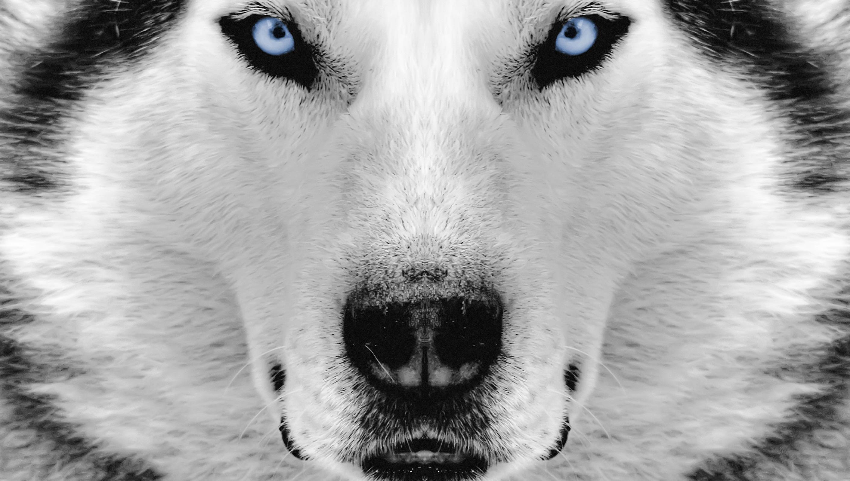 Husky Wallpapers 86 Background Pictures