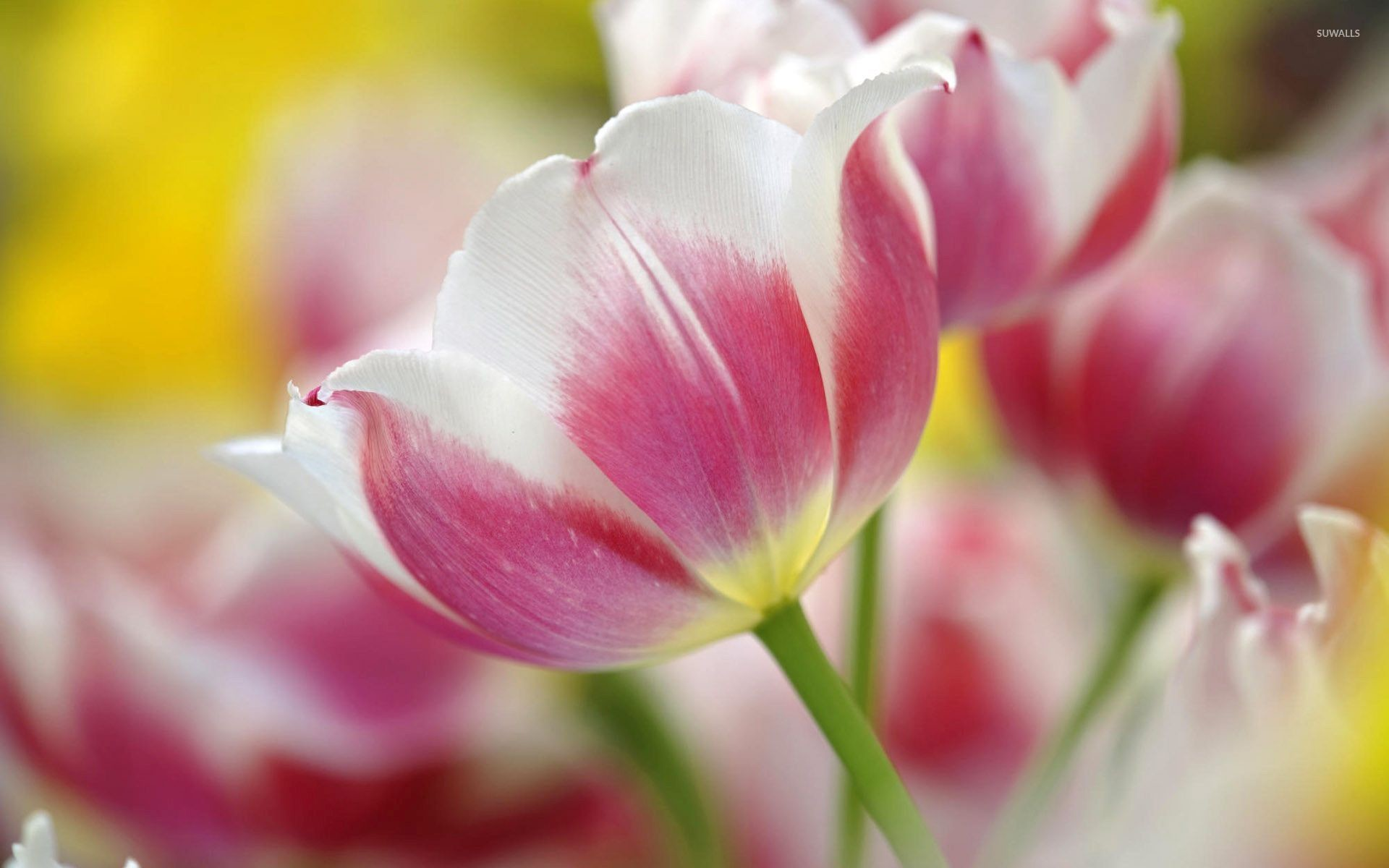 Tulip Flowers Wallpapers 74 Background Pictures