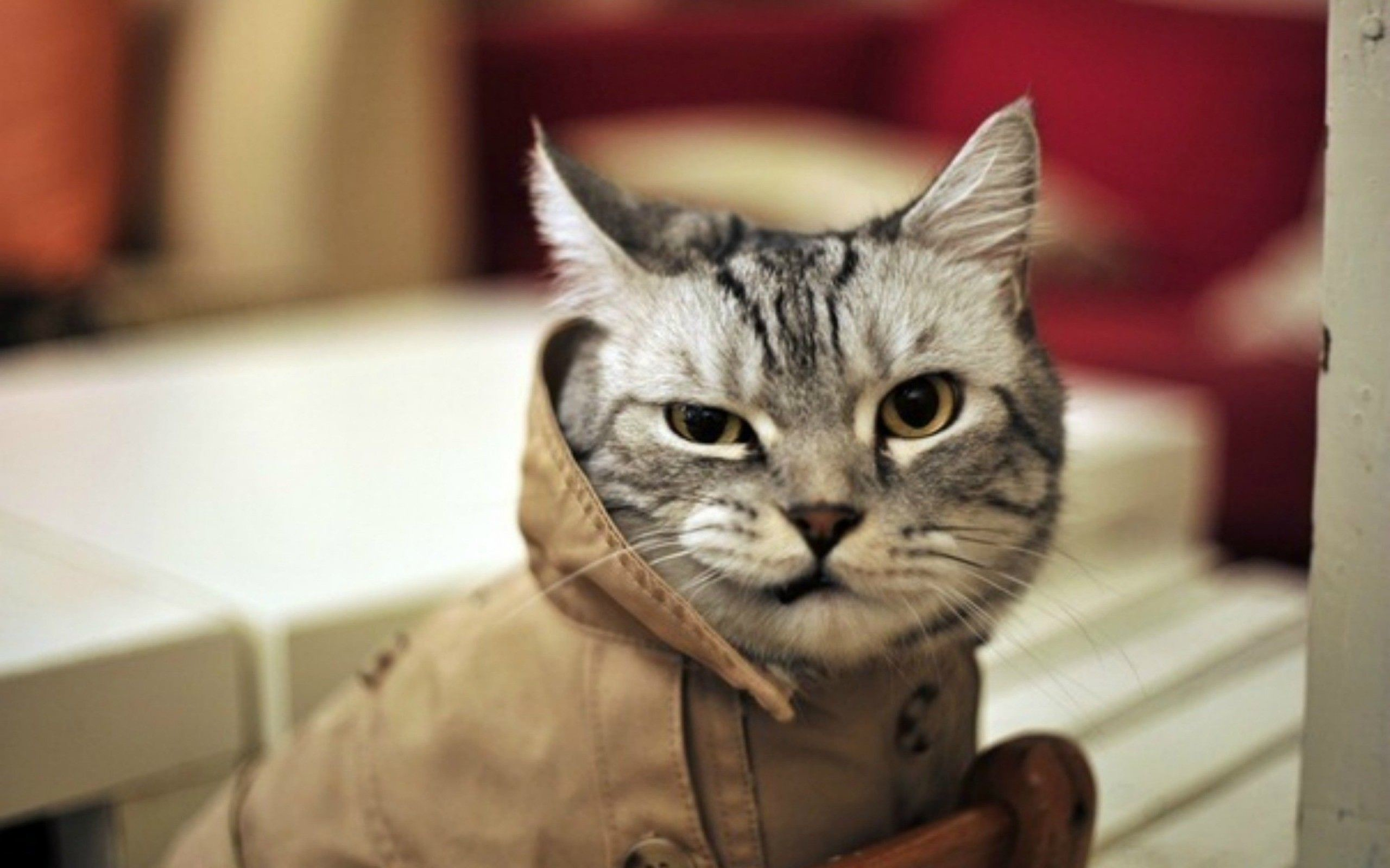 2560x1600 Funny Cat Wallpapers : Find best latest Funny Cat Wallpapers for your PC desktop background