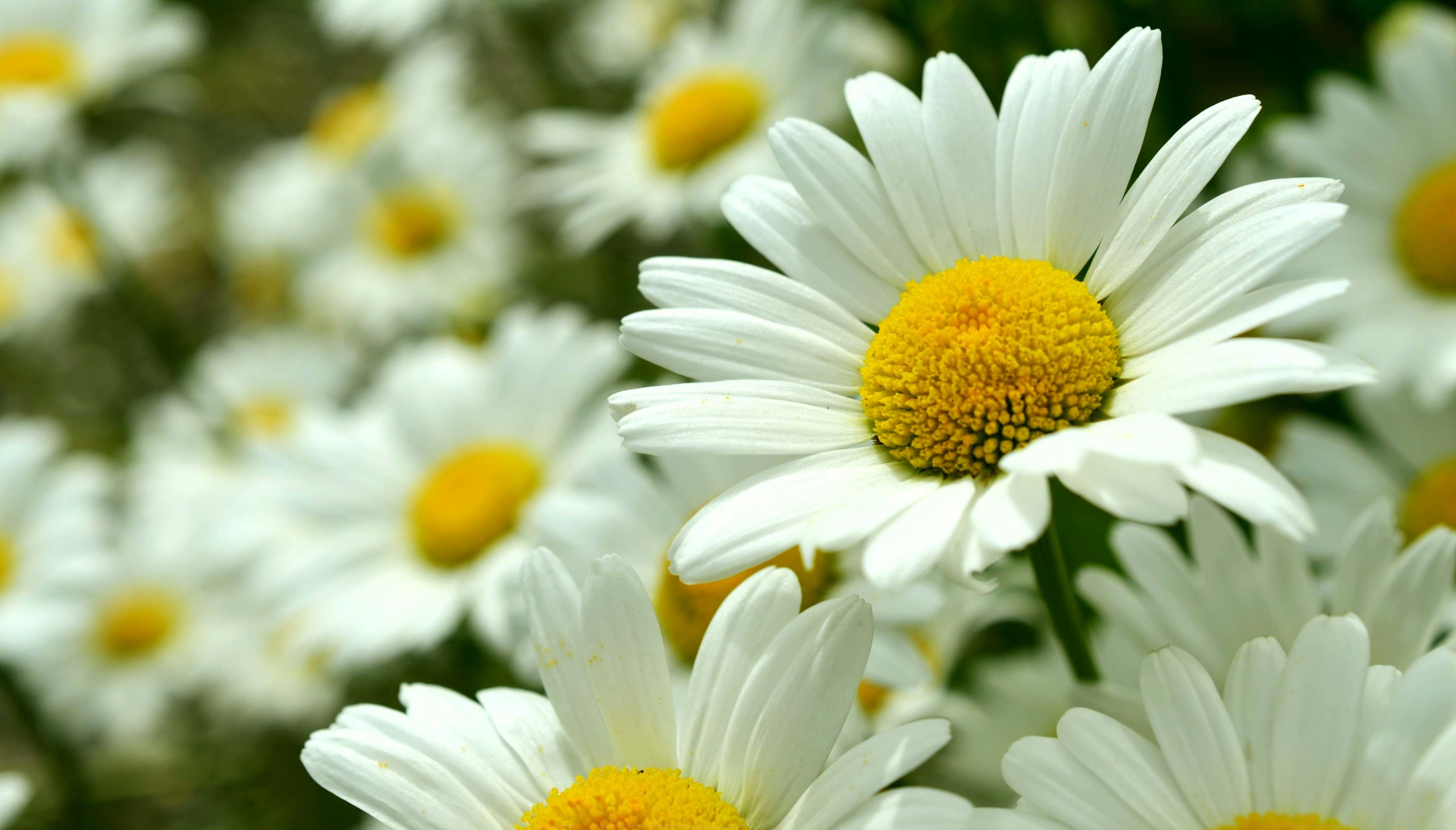 Daisy Flower Wallpapers 51 Background Pictures