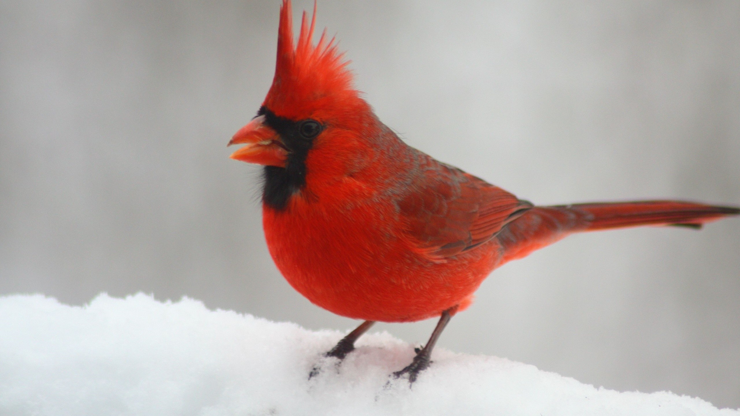 Cardinal bird wallpapers 59 background pictures - Winter cardinal background ...