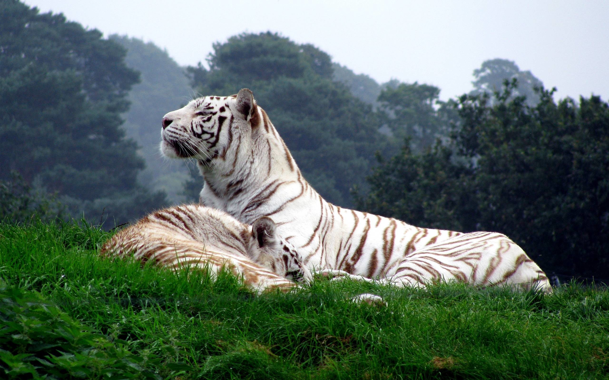 1920x1200 Tiger Wallpapers Free Animals Pinterest