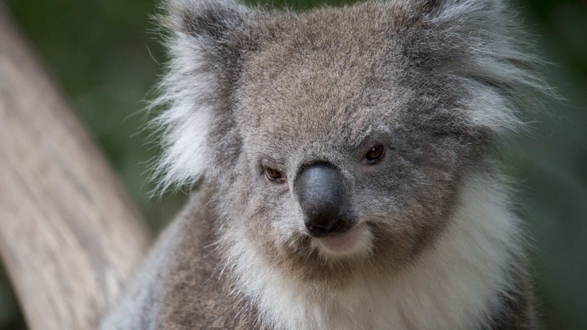 Koala Wallpapers 65 Background Pictures