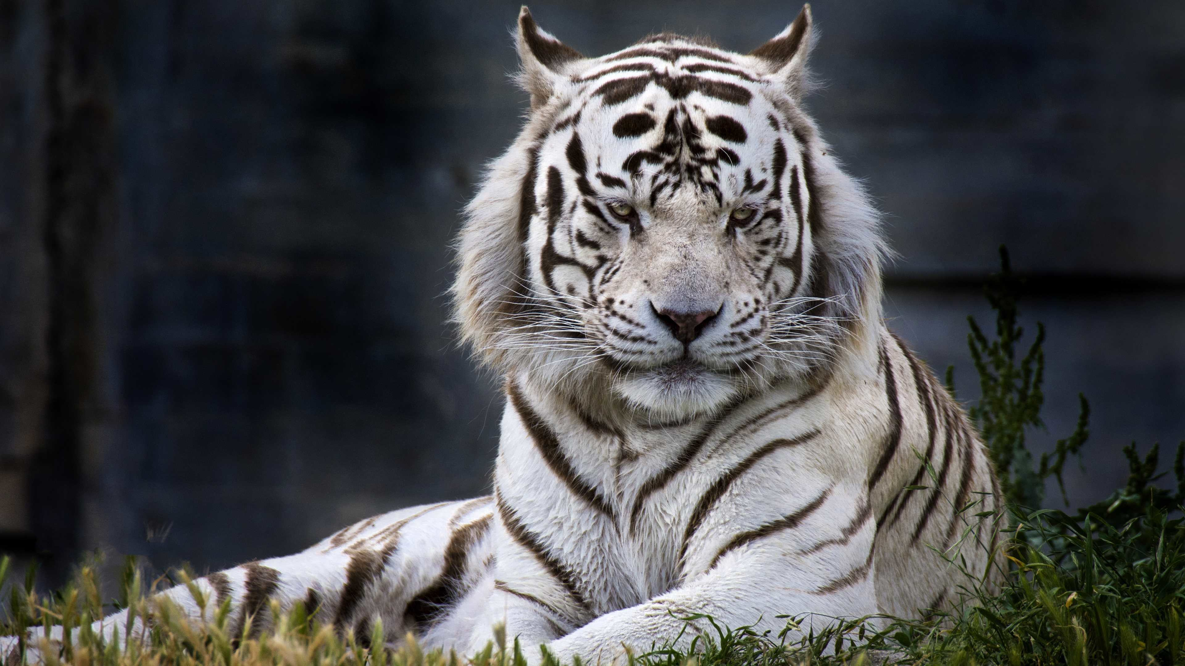 White Tiger Wallpapers Hd 65 Background Pictures