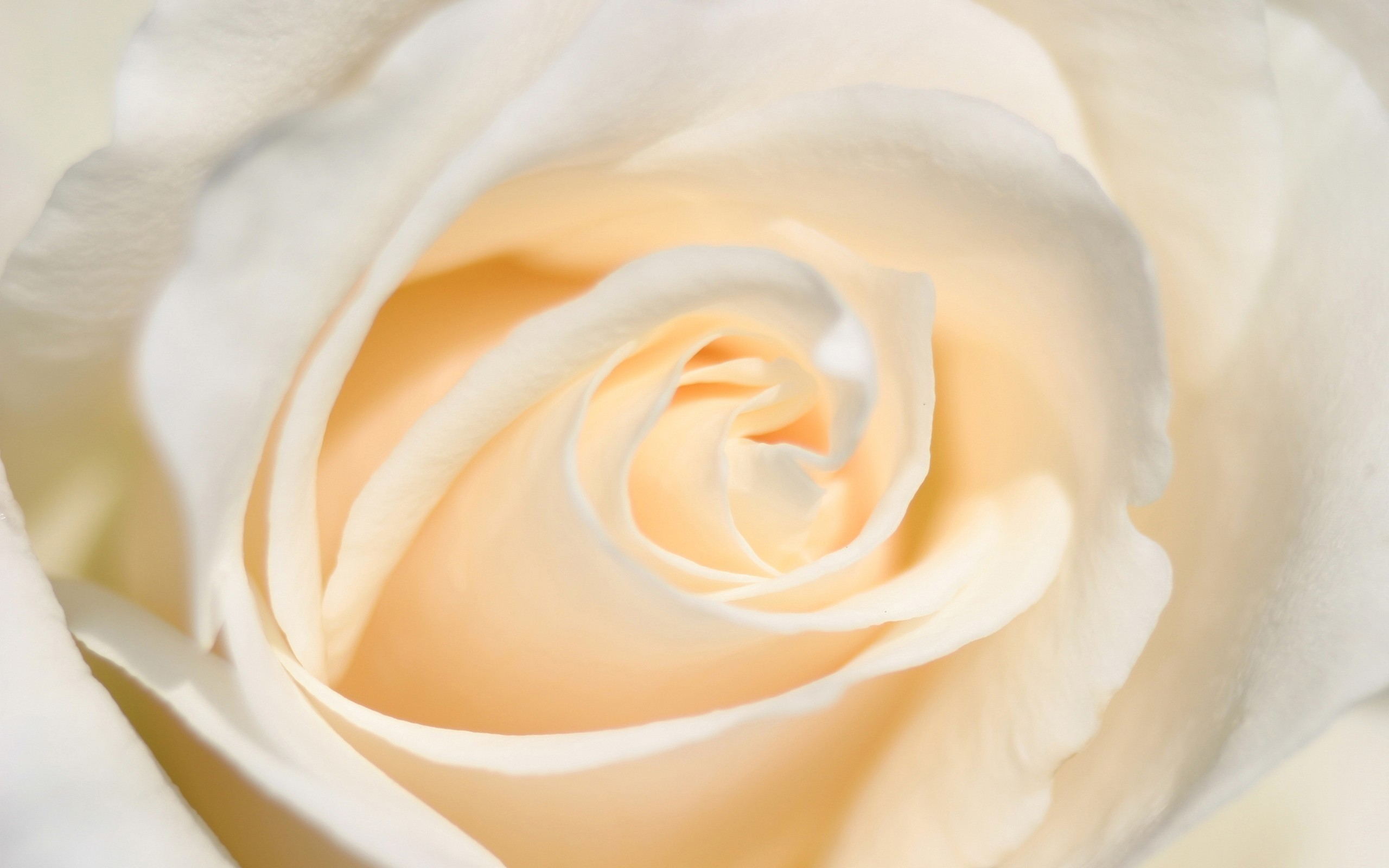 White Rose Wallpapers 56 Background Pictures