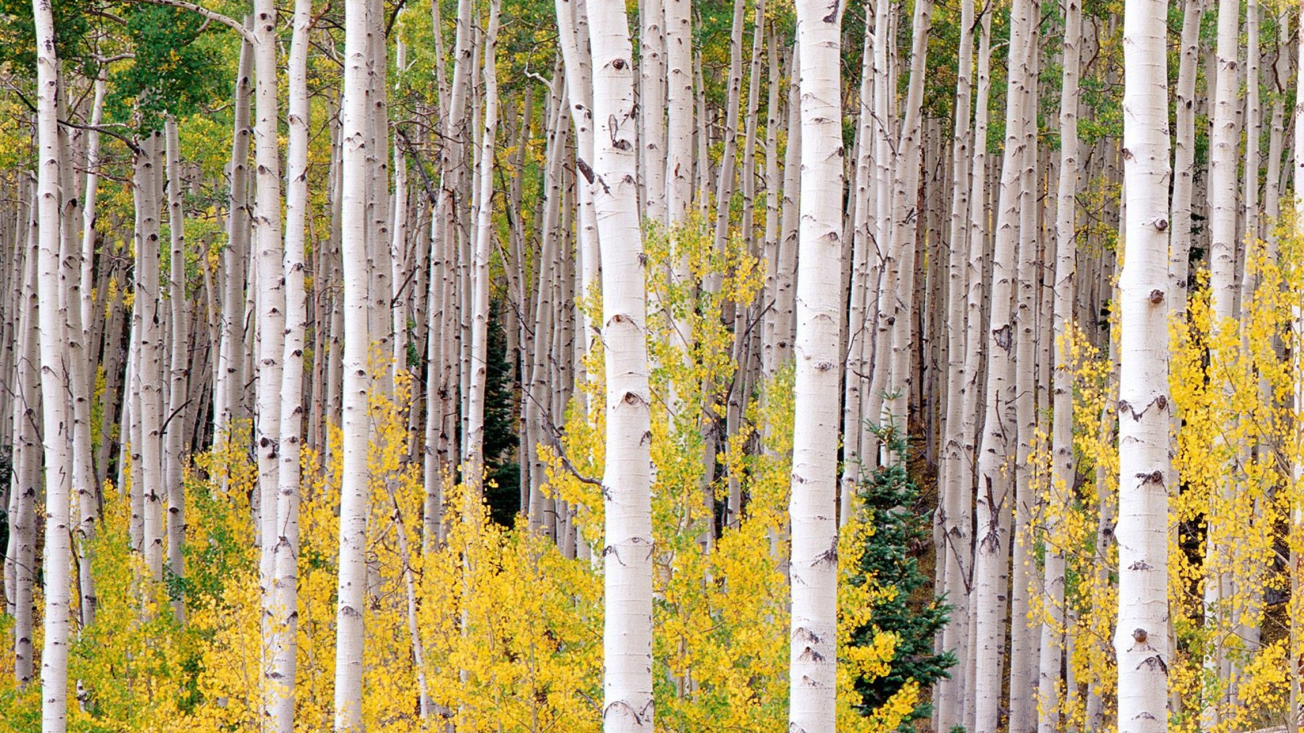 Birch Tree Wallpapers (59+ background pictures)