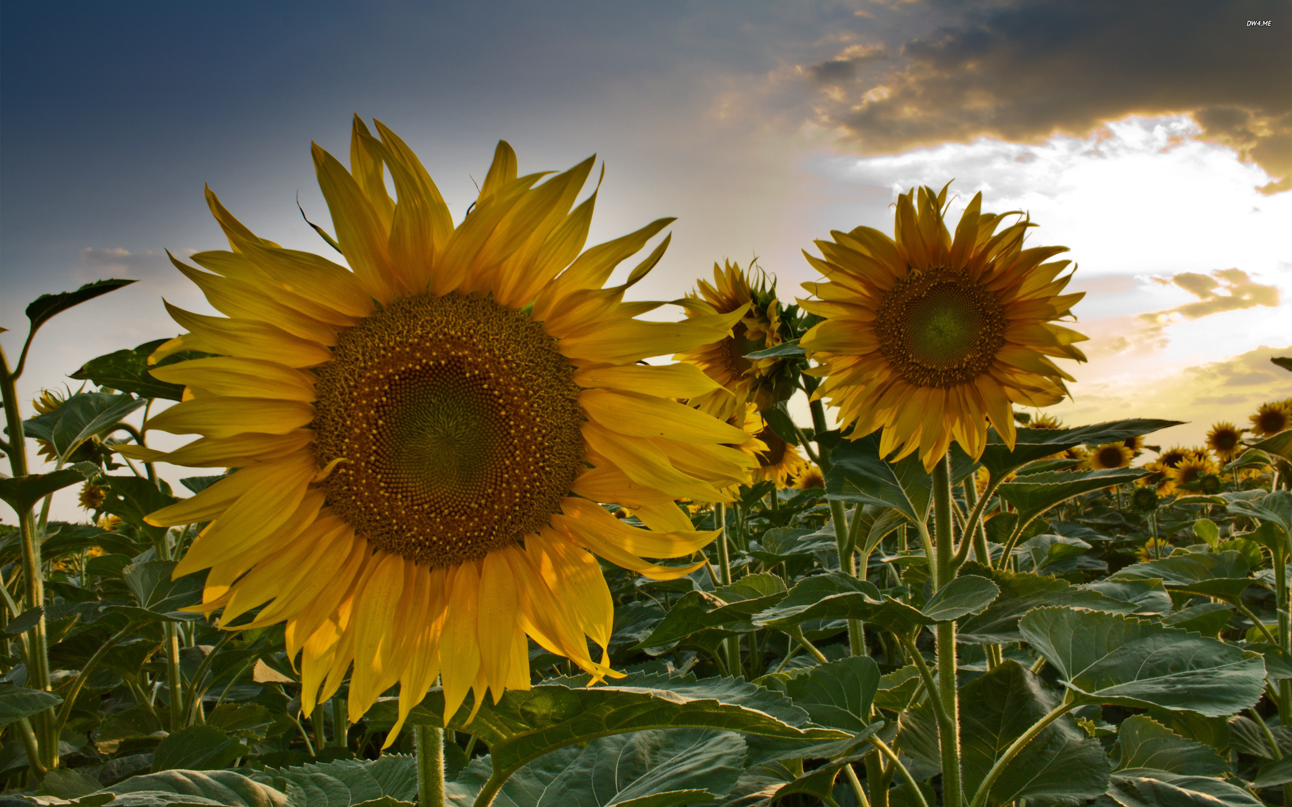 Sunflower wallpaper ·① Download free stunning HD backgrounds for