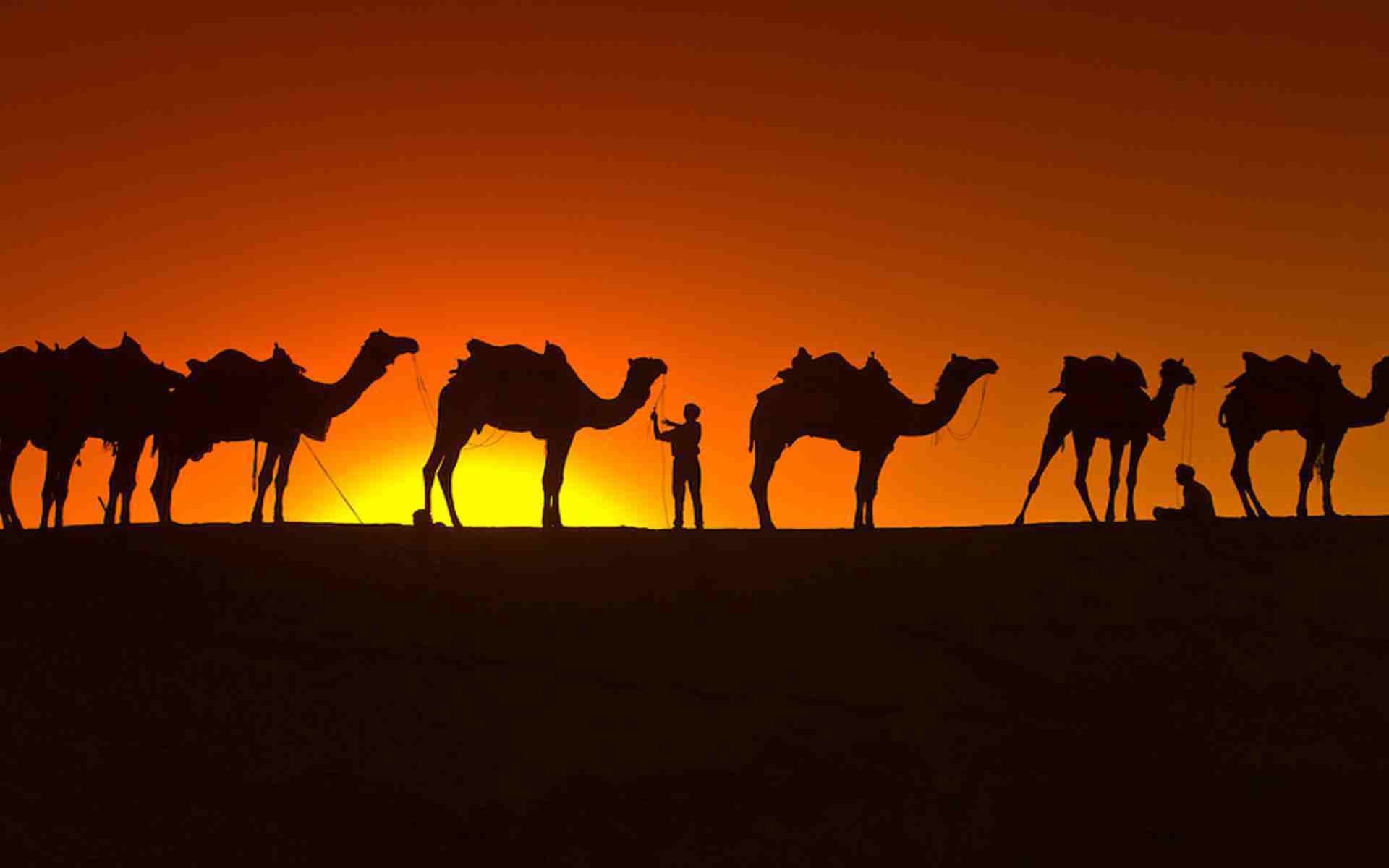 Camel Wallpapers 61 Background Pictures
