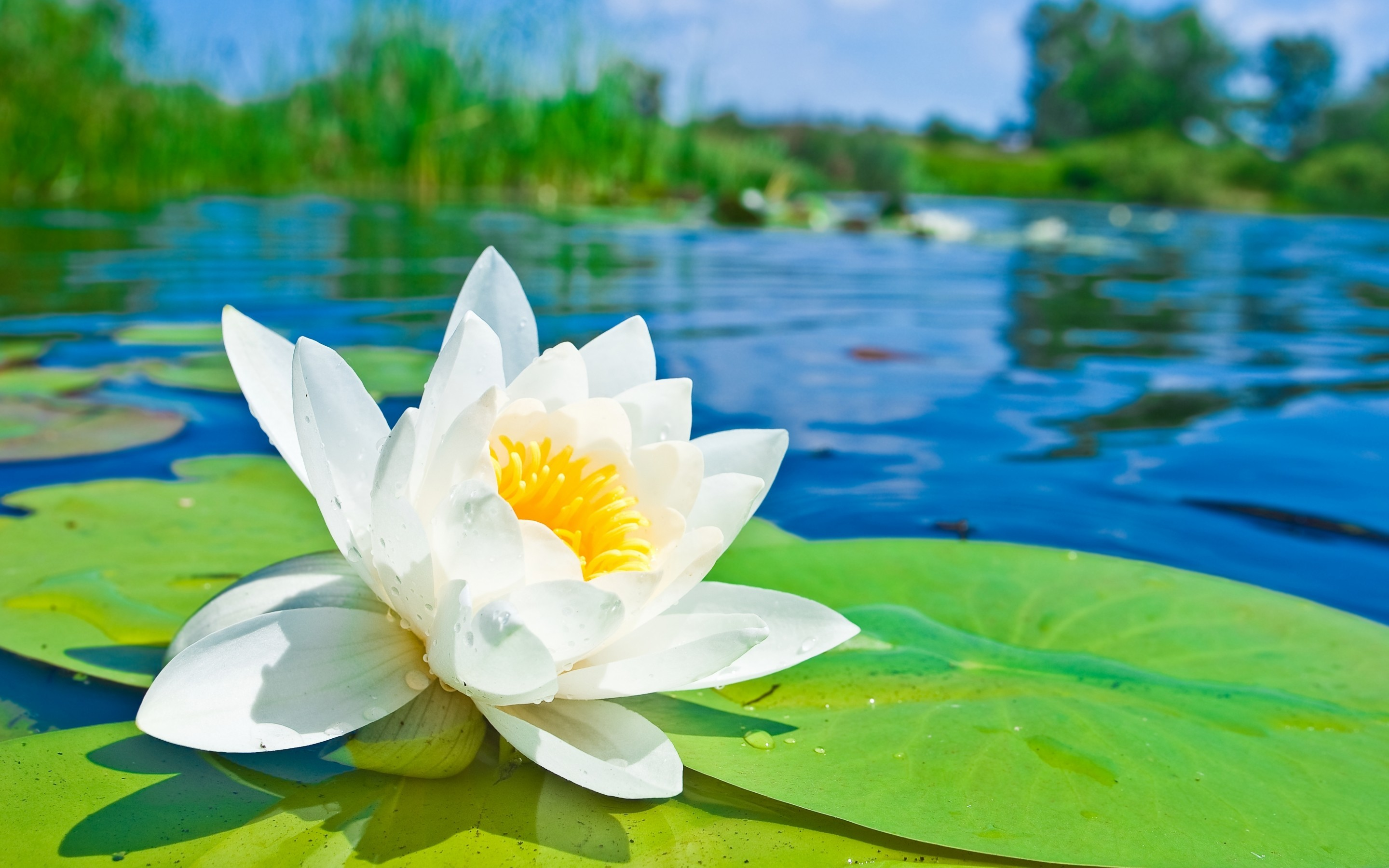 Lily pad wallpapers 49 background pictures 2880x1800 erdenatur seerose natur lily pad close up blume white flower wallpaper izmirmasajfo