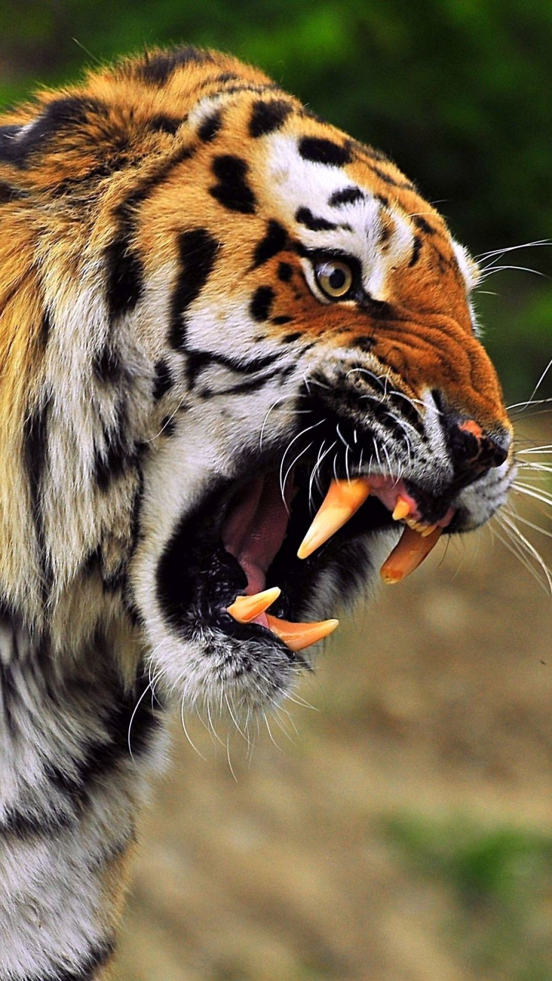 Tiger Face Wallpapers 73 Background Pictures