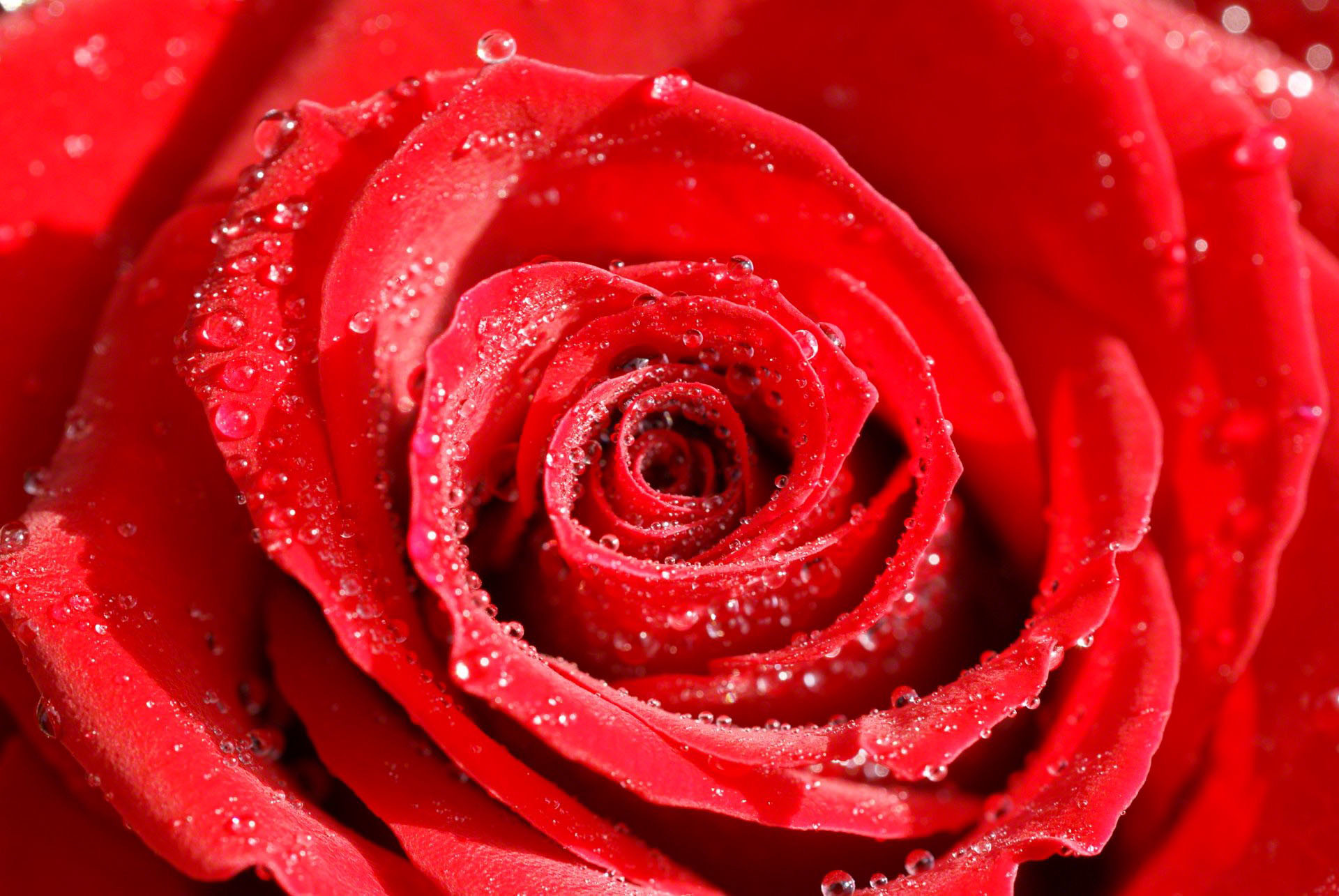 Beautiful Rose Wallpapers 66 Background Pictures