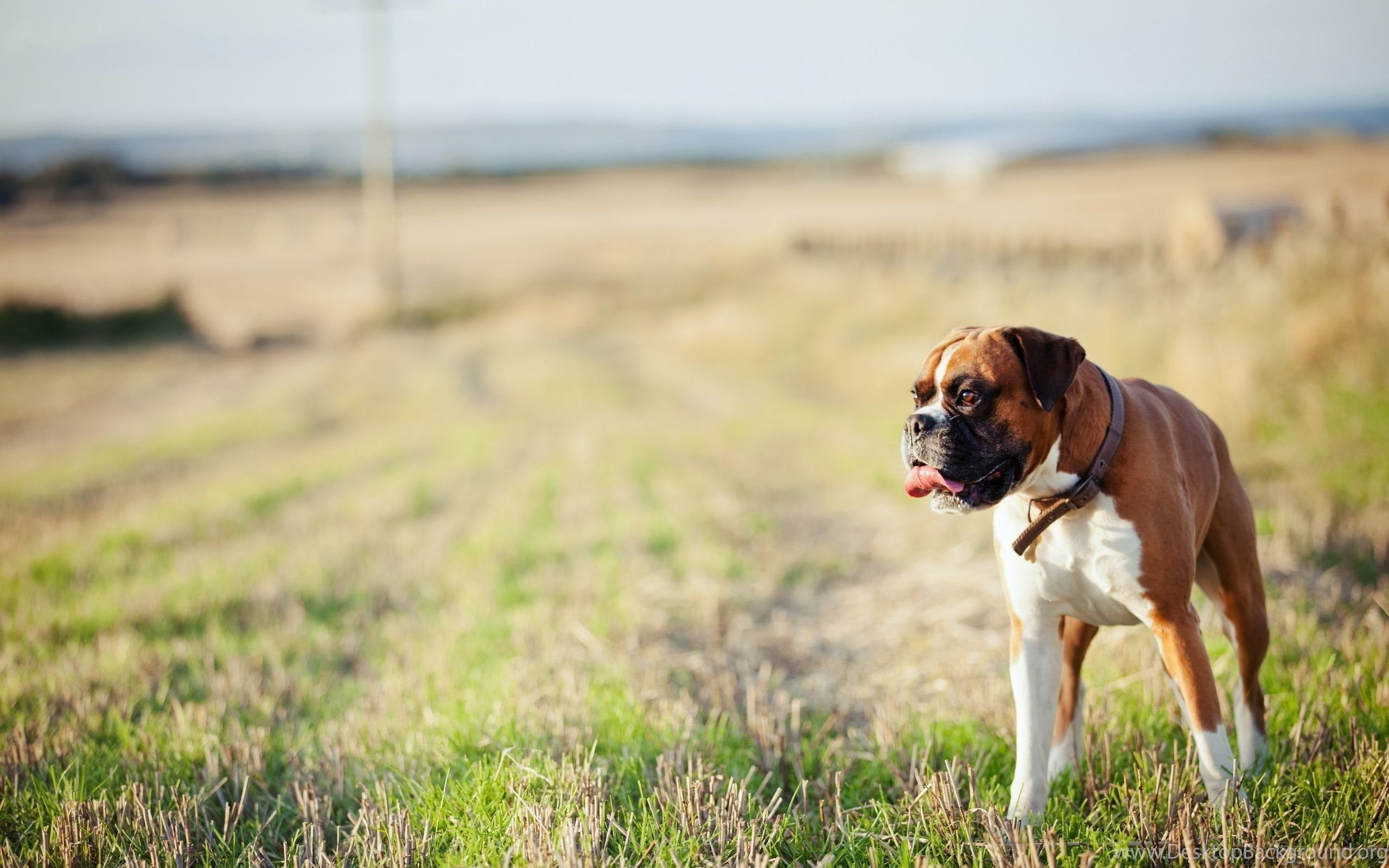 Boxer Dog Wallpapers 49 Background Pictures