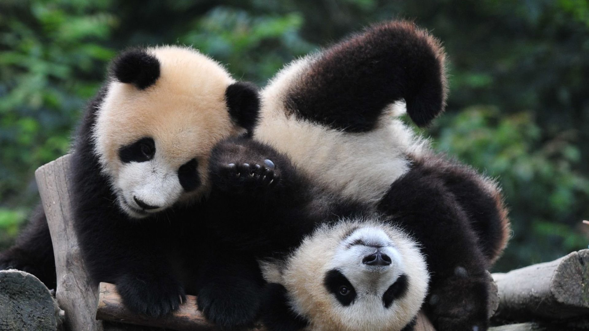 Baby Panda Wallpapers (75+ background pictures)