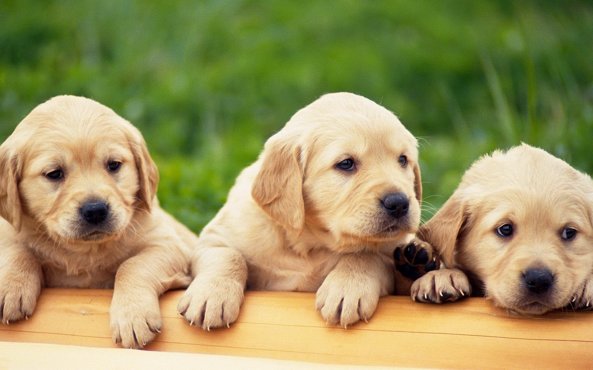 Wallpapers Of Puppies 67 Background Pictures