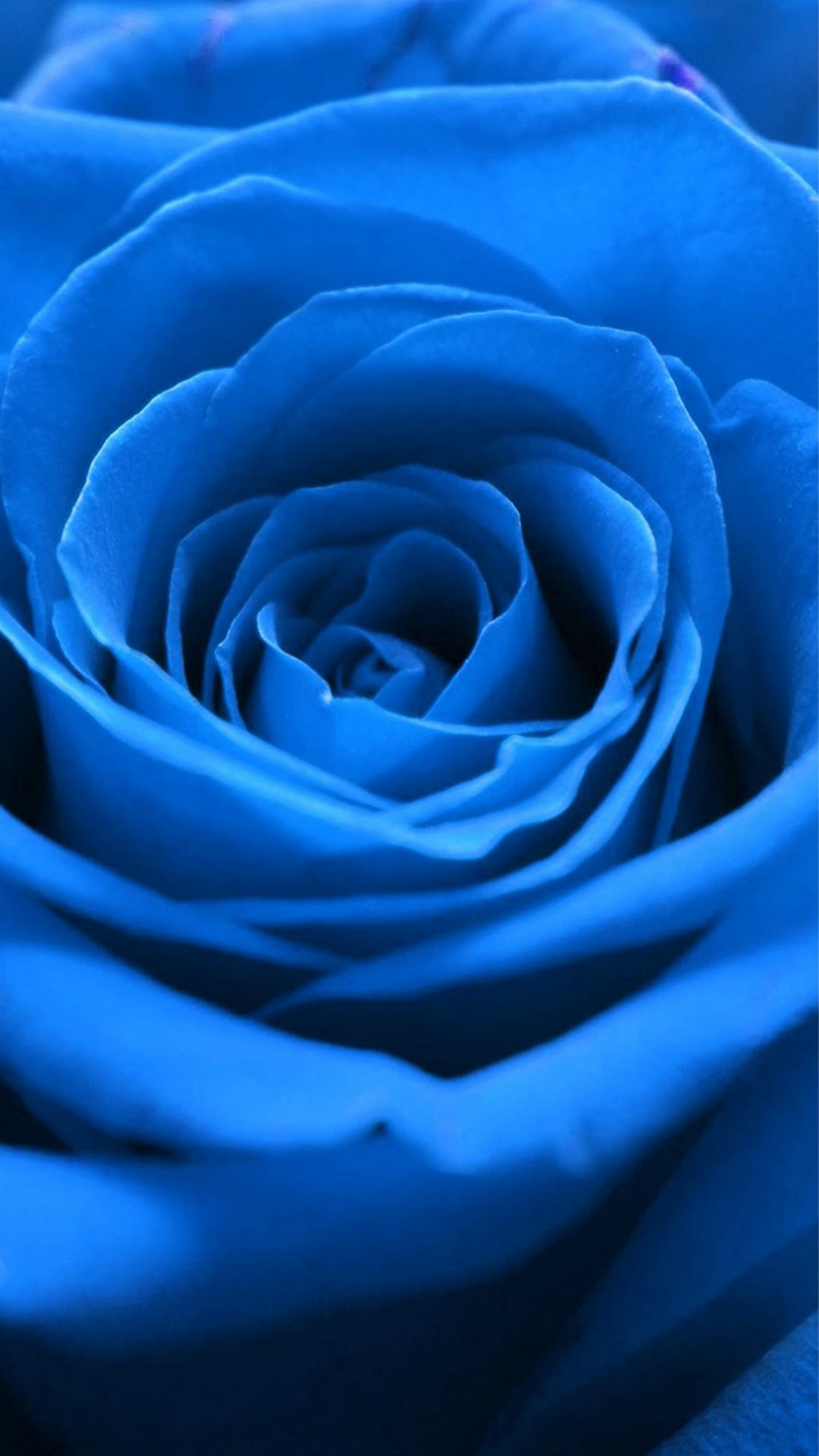Blue Rose Wallpapers 62 Background Pictures