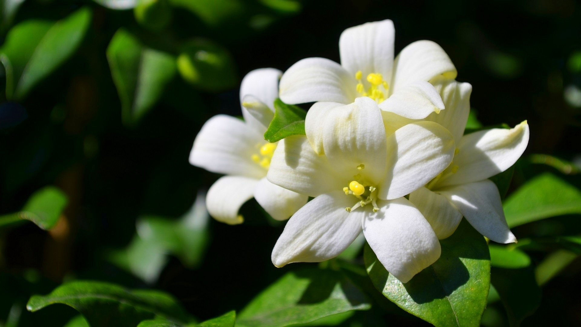 Jasmine Flower Wallpapers 54 Background Pictures