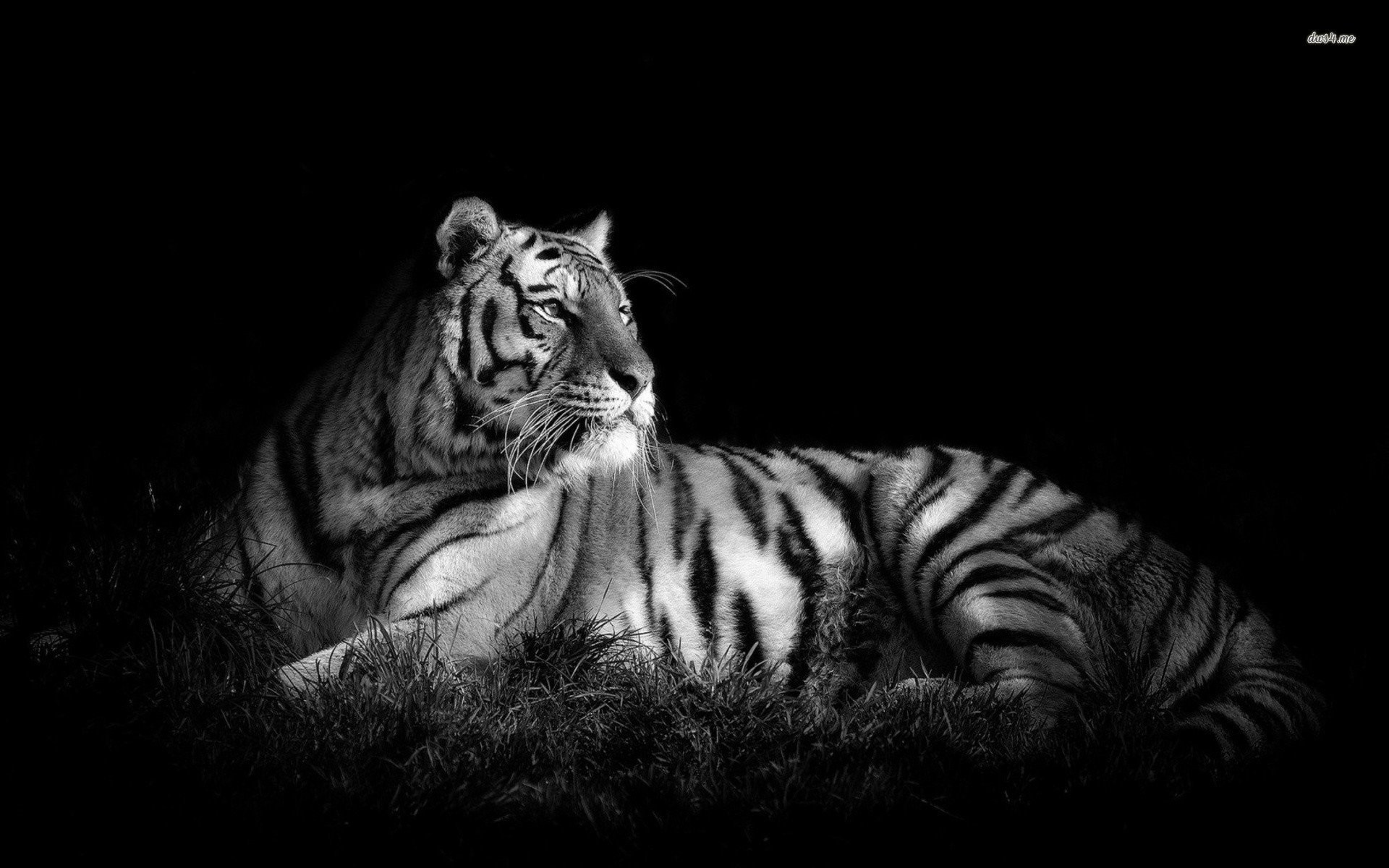 Siberian Tiger Wallpapers 58 Background Pictures