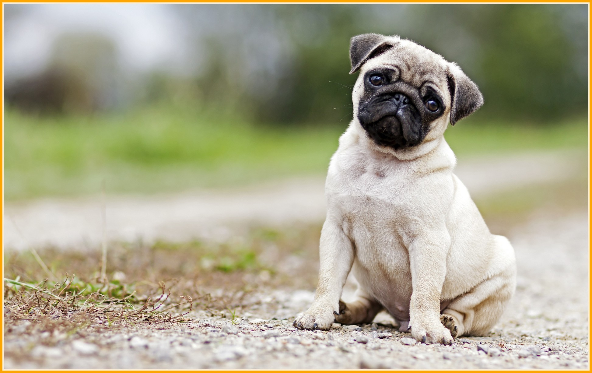 Pug Puppies Wallpapers 68 Background Pictures