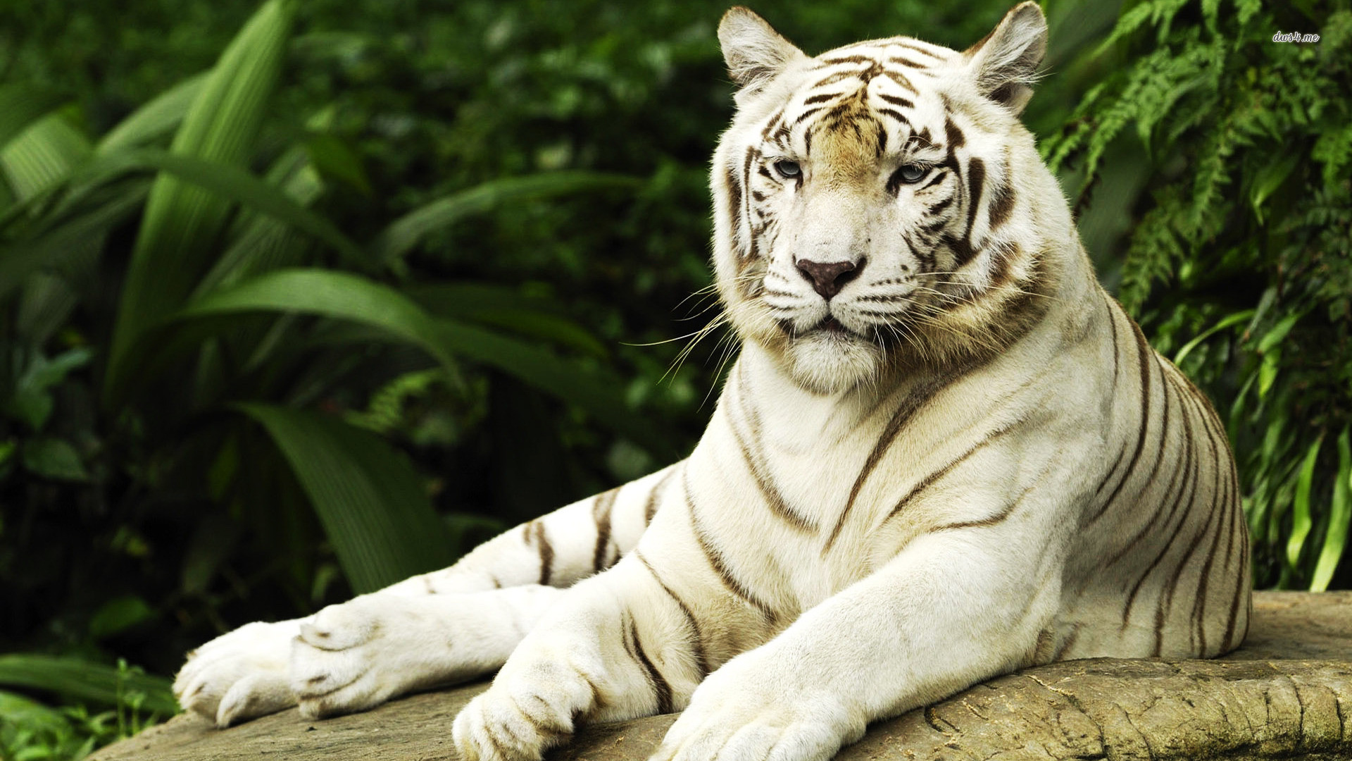 White Tiger Wallpapers 64 Background Pictures