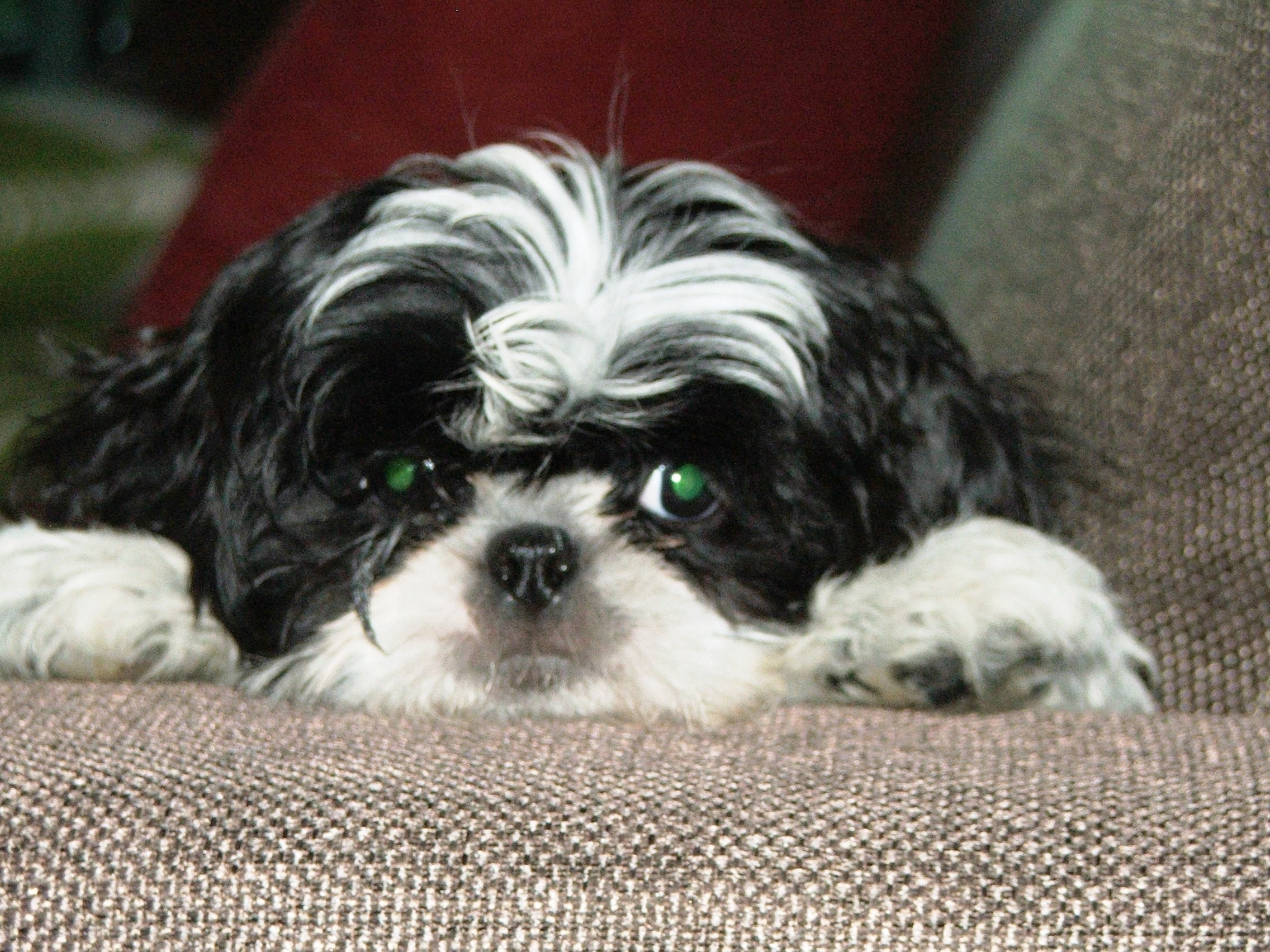 Shih Tzu Wallpapers 48 Background Pictures