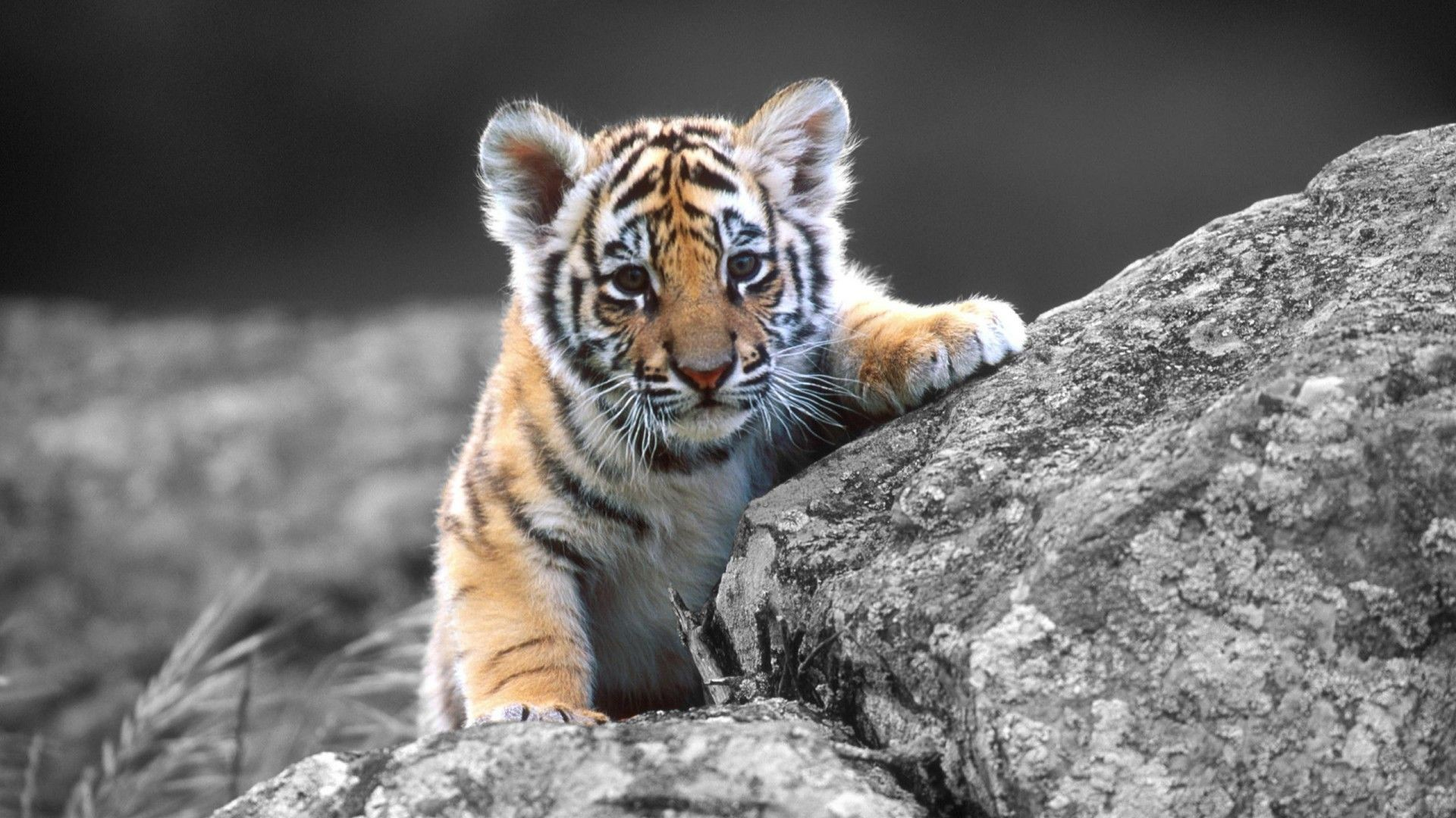White Tiger Cub Wallpapers 67 Background Pictures