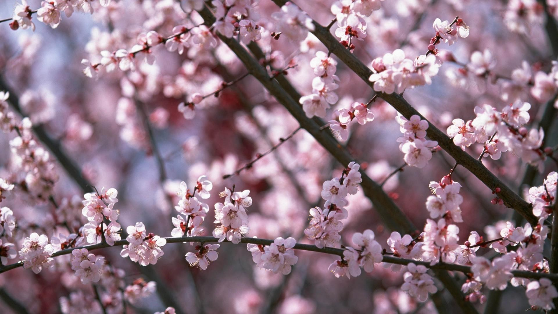 Cherry Blossom Desktop Wallpapers 81 Background Pictures