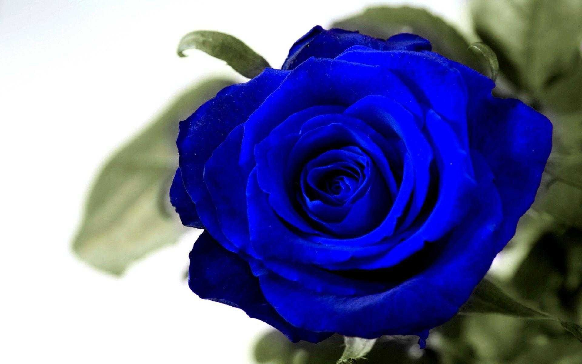 blue roses wallpapers (64+ background pictures)