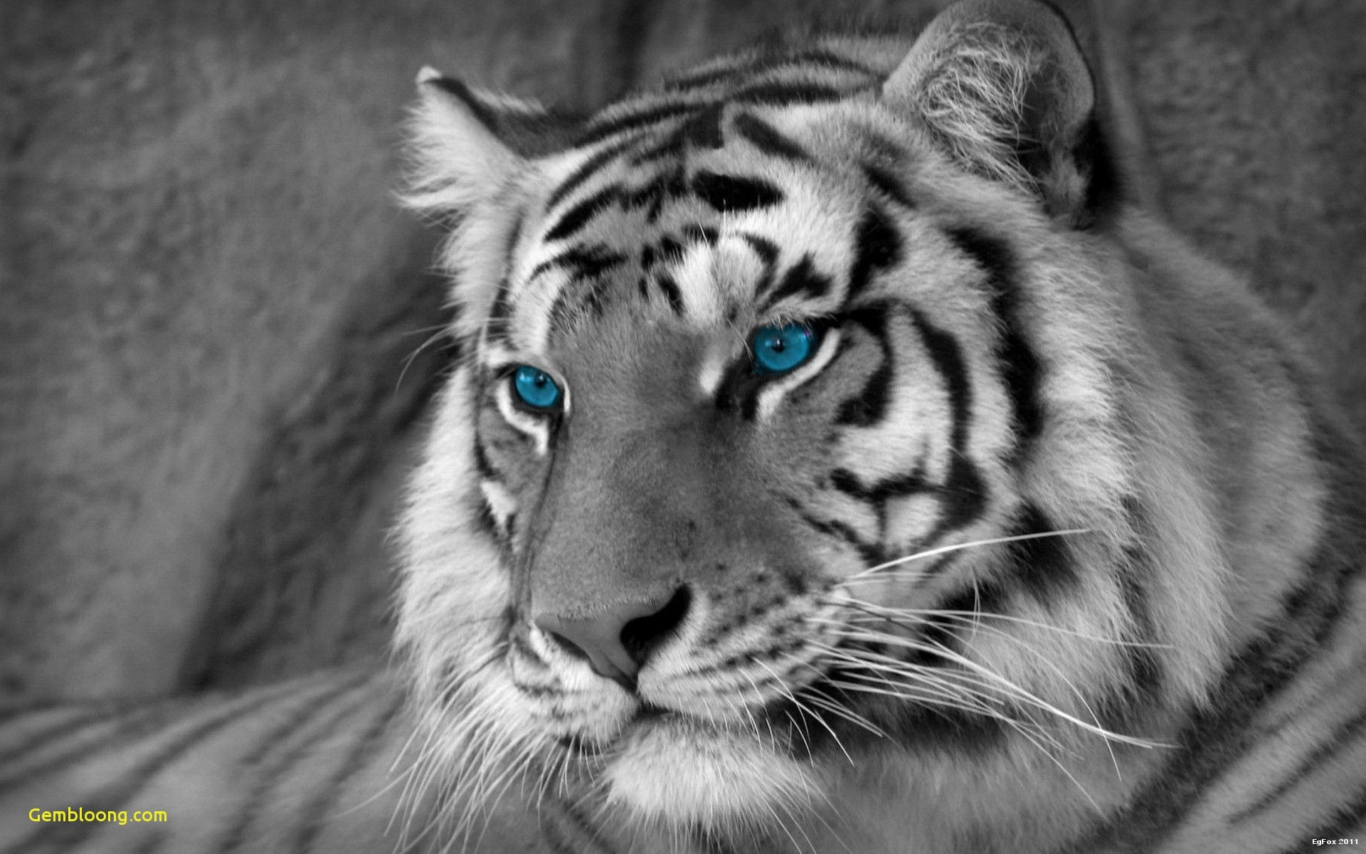 tiger hd wallpapers (80+ background pictures)