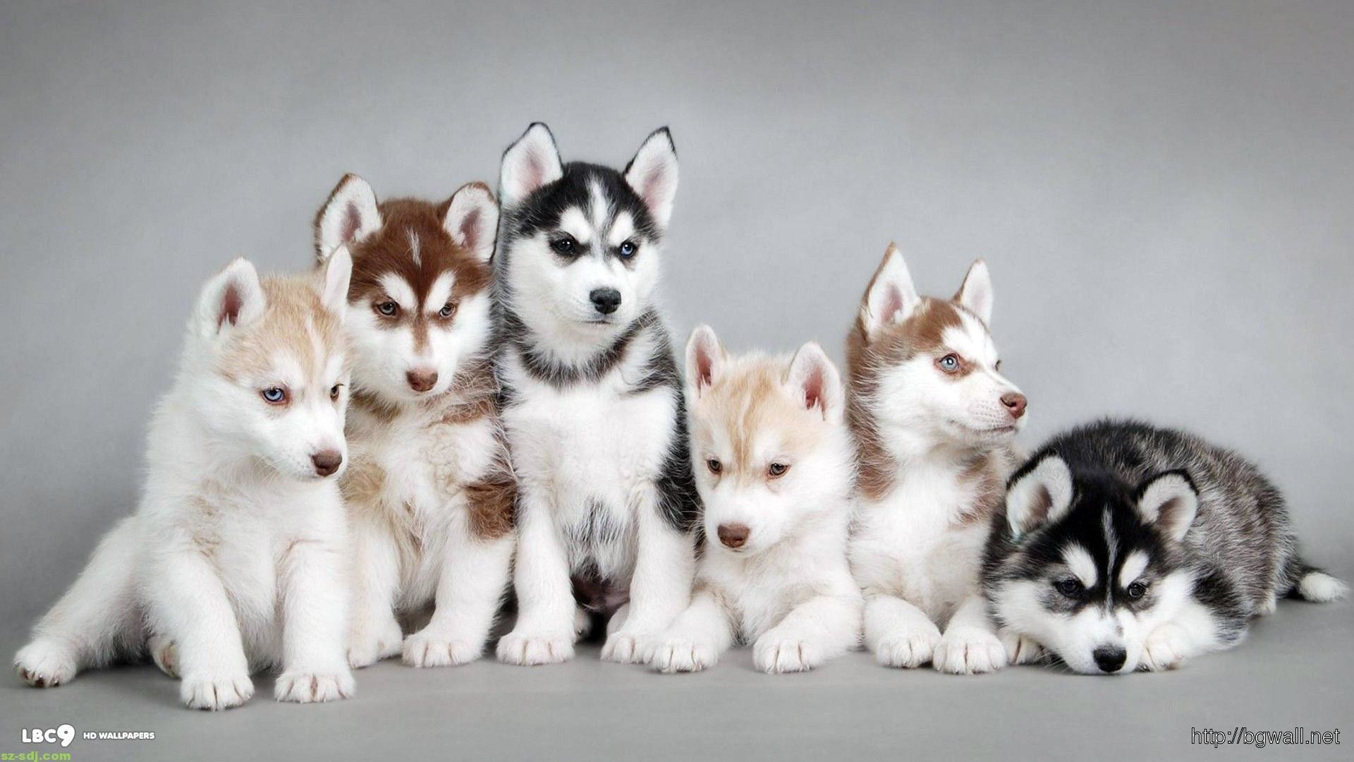 siberian husky wallpapers (76+ background pictures)