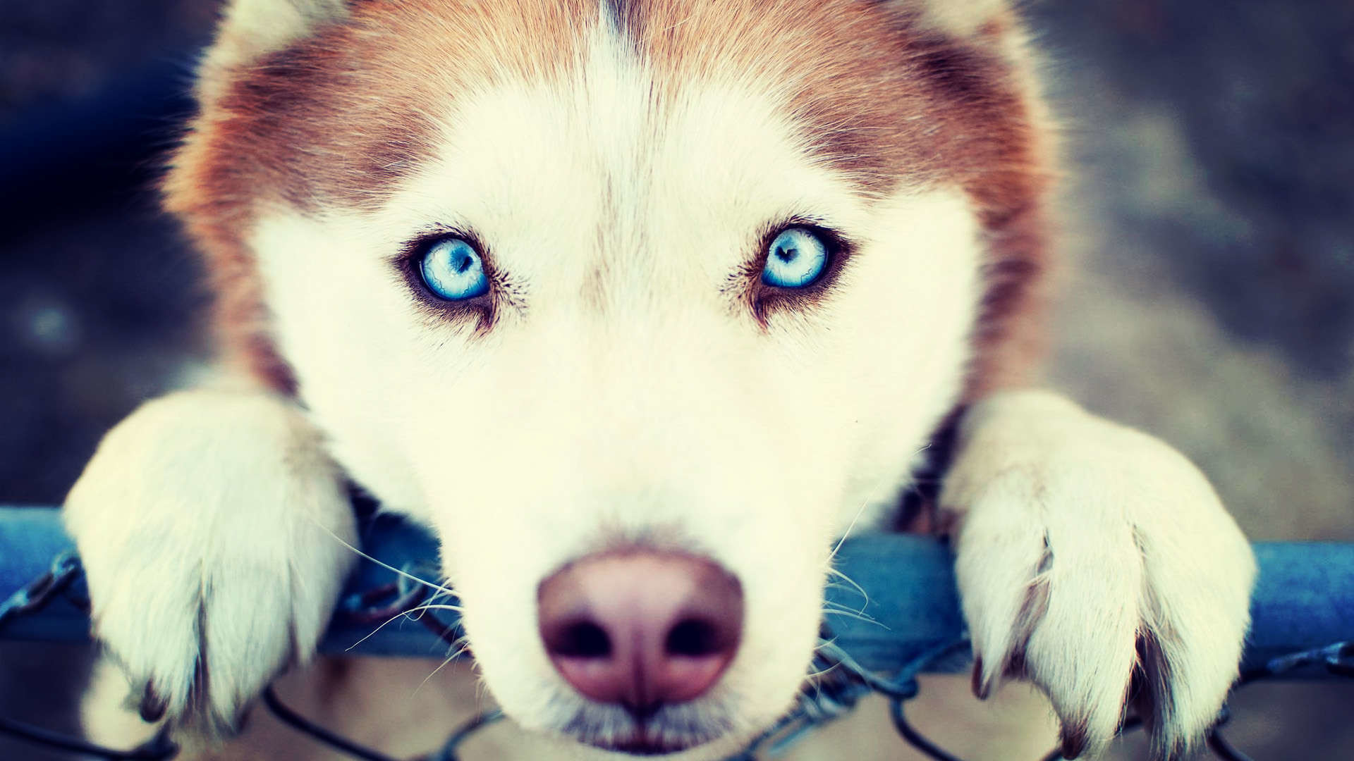 Siberian Husky Wallpapers 76 Background Pictures