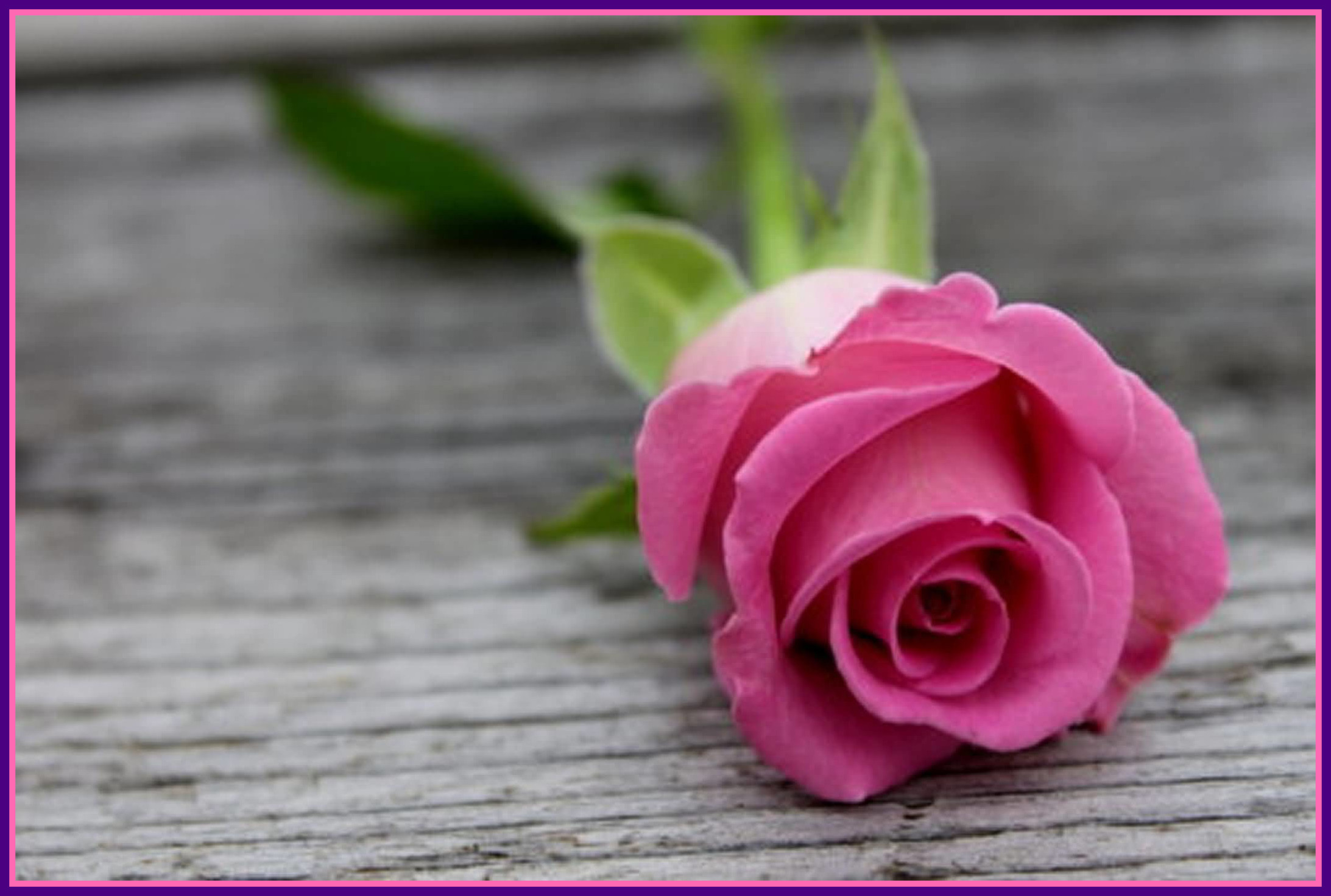 2560x1600 Pink Rose Wallpapers Mobile For Free Wallpaper