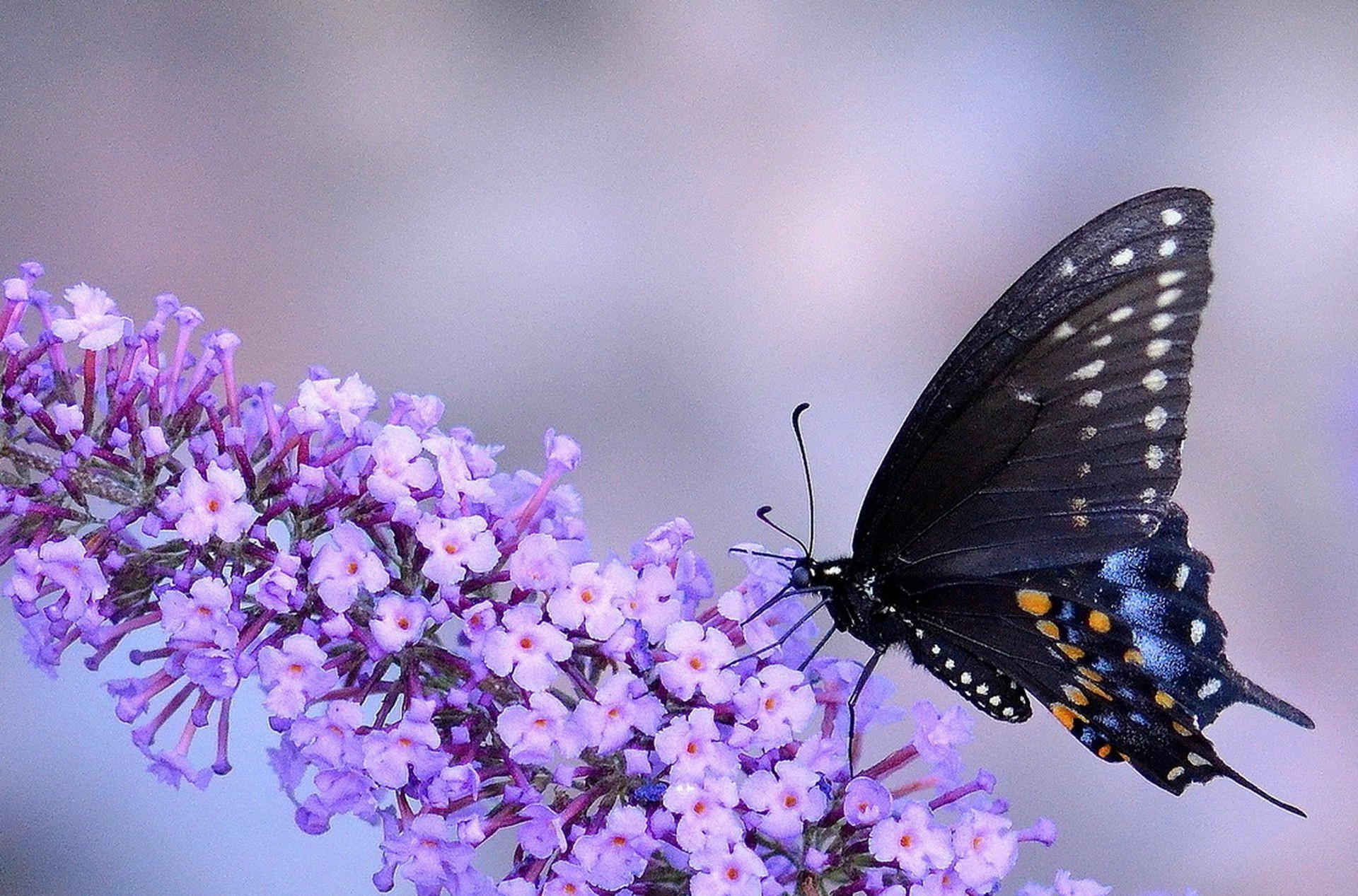 Purple Butterfly Wallpapers (75+ background pictures)