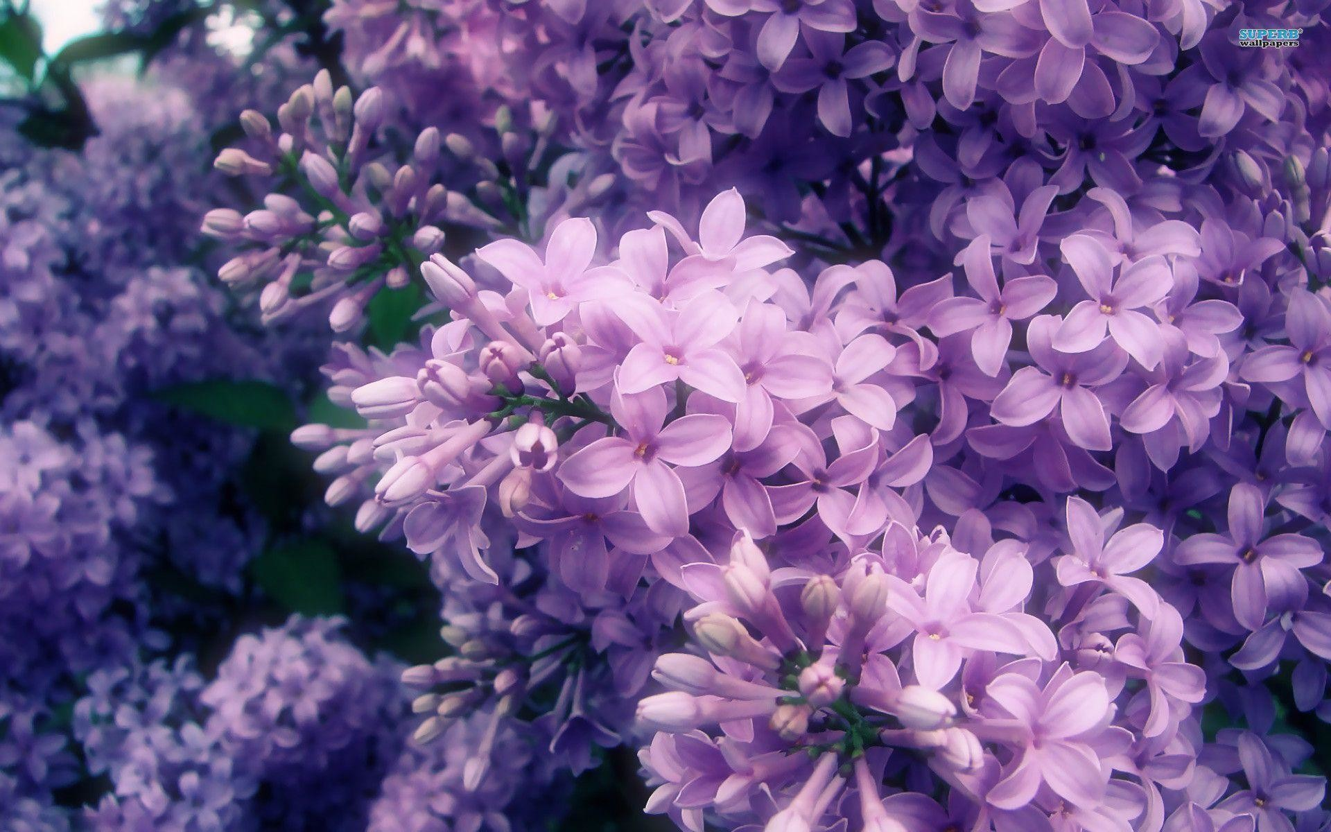 Lilac Wallpapers 71 Background Pictures