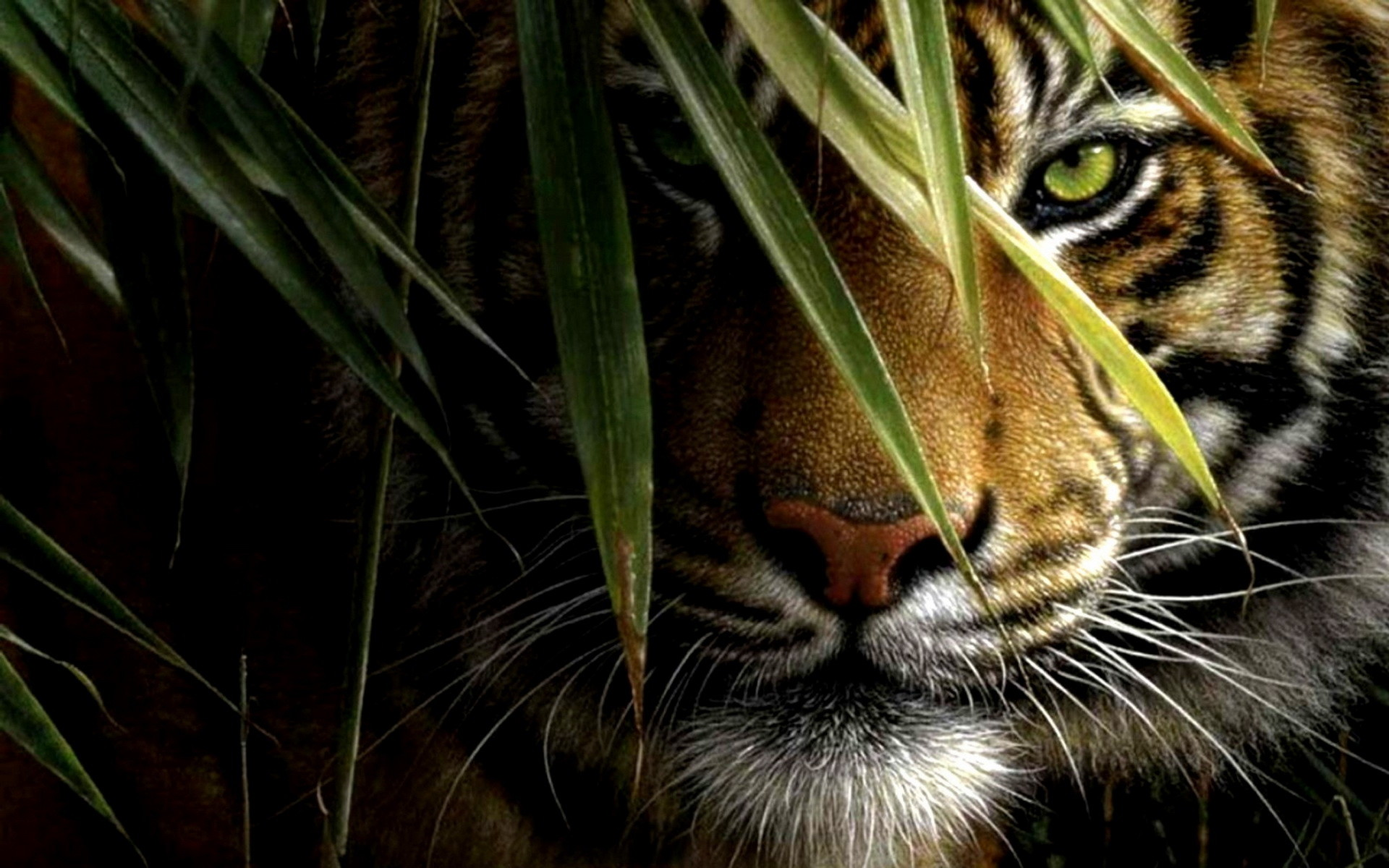 tiger wallpapers (75+ background pictures)
