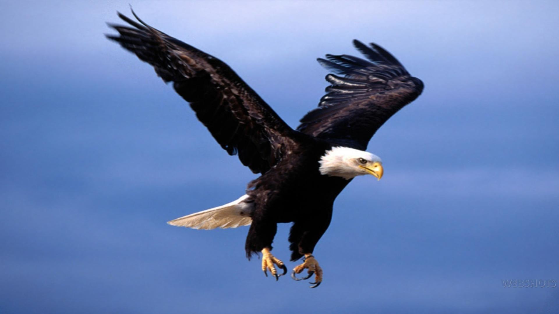 Flying eagle wallpapers 65 background pictures 1920x1080 flying eagle wallpaper free desktop background free wallpaper image altavistaventures Gallery