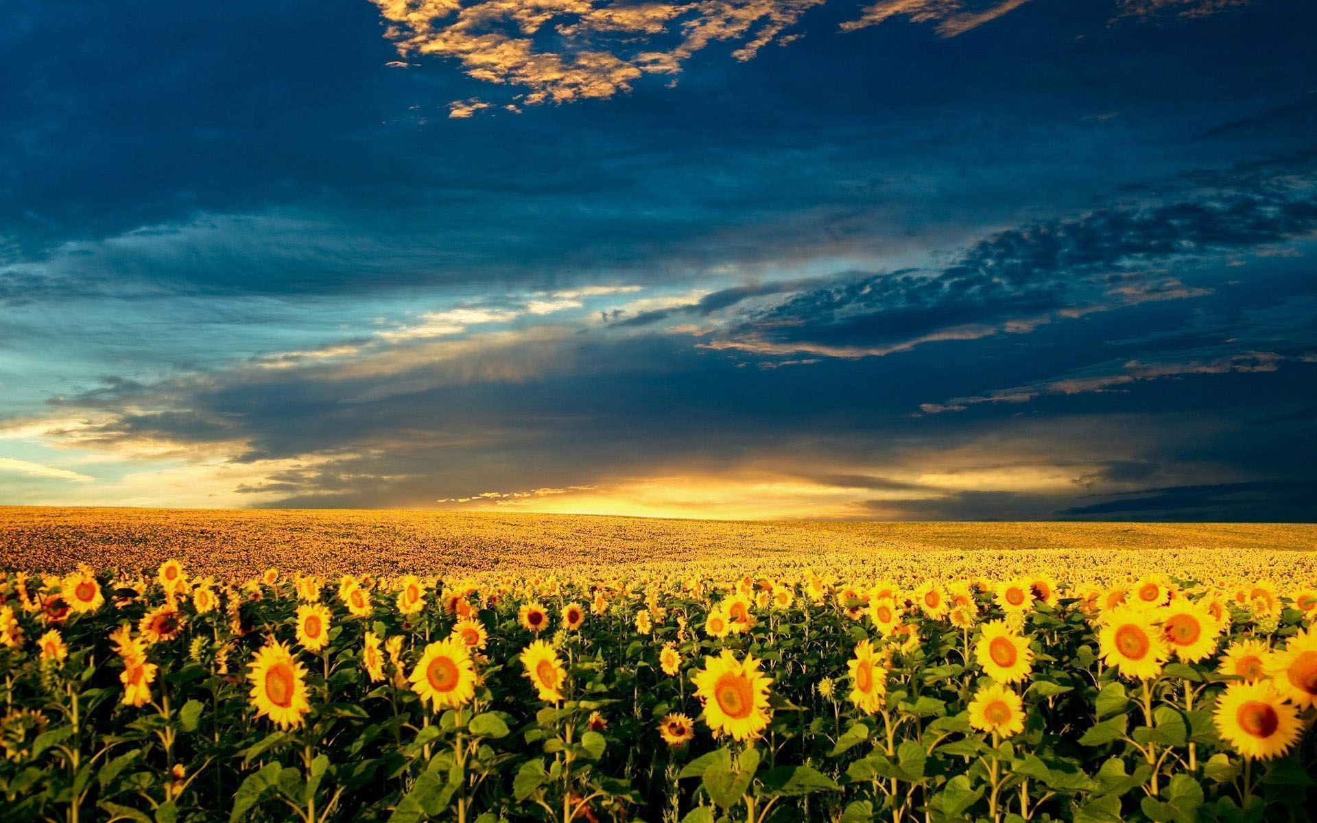1920x1080 Sunflower Wallpaper Desktop