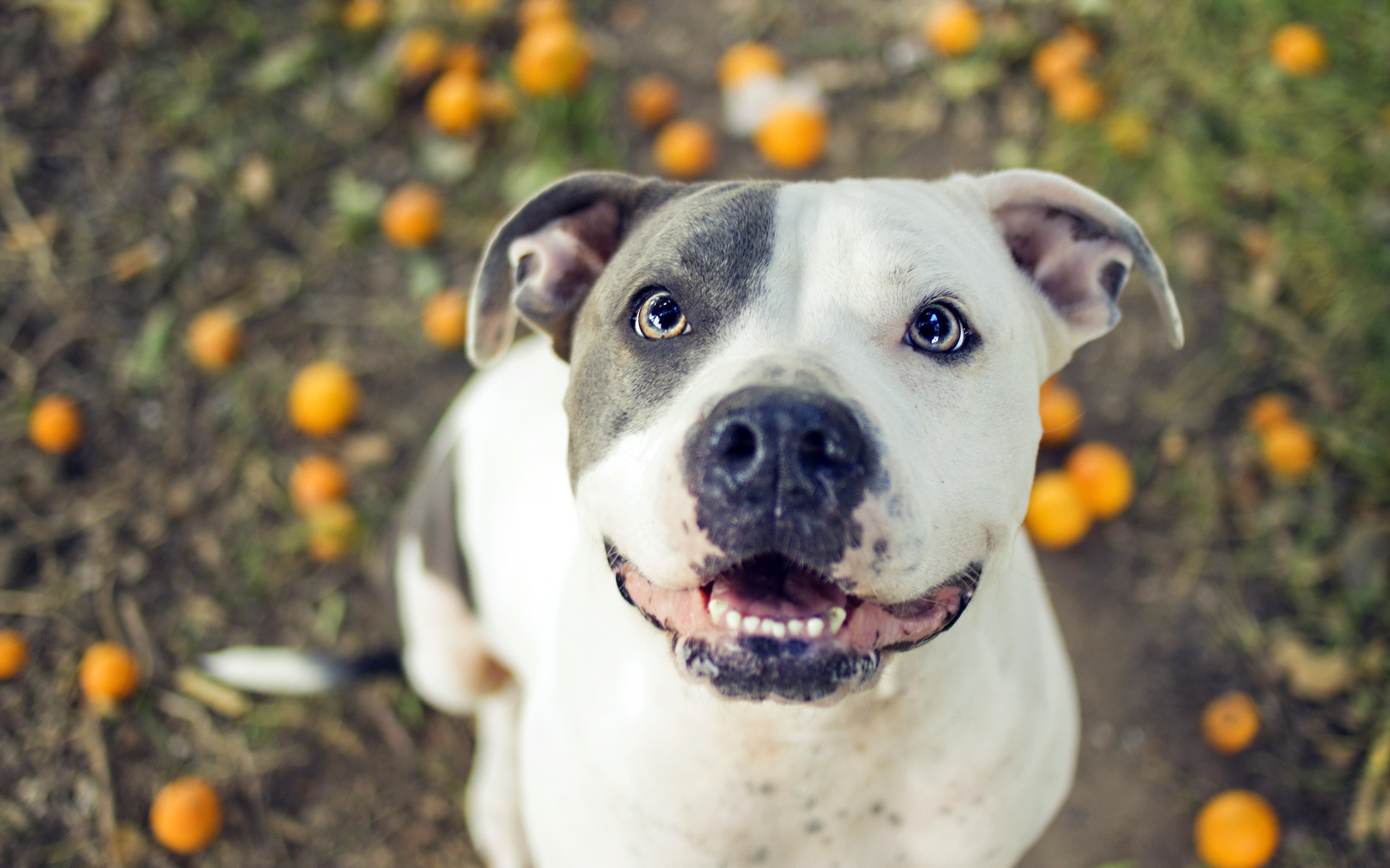 pitbull dog wallpapers 50 background pictures