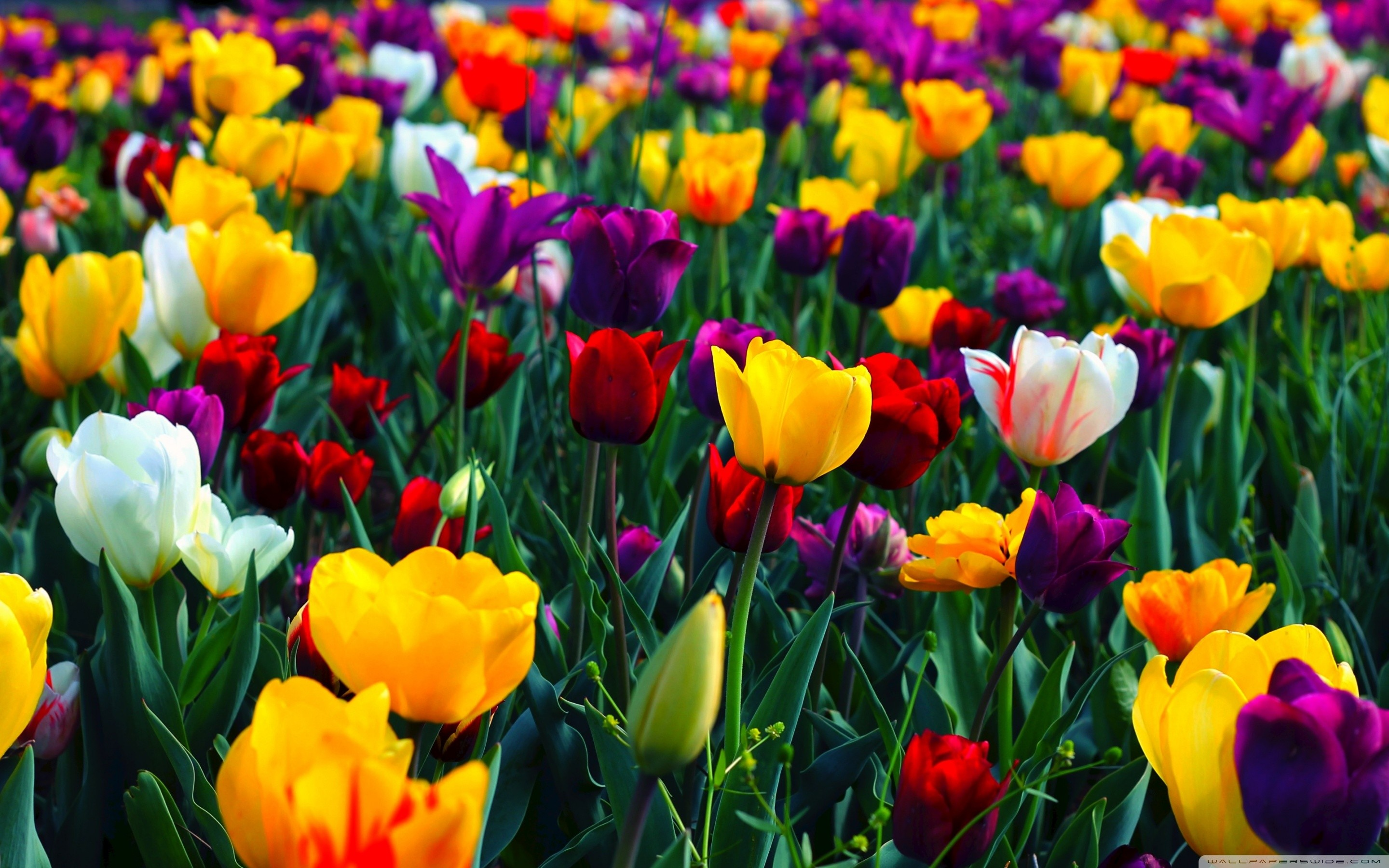 Spring flower wallpapers backgrounds 69 background pictures 1920x1080 flower desktop wallpaper 11427 spring flower desktop wallpaper 47 pictures mightylinksfo