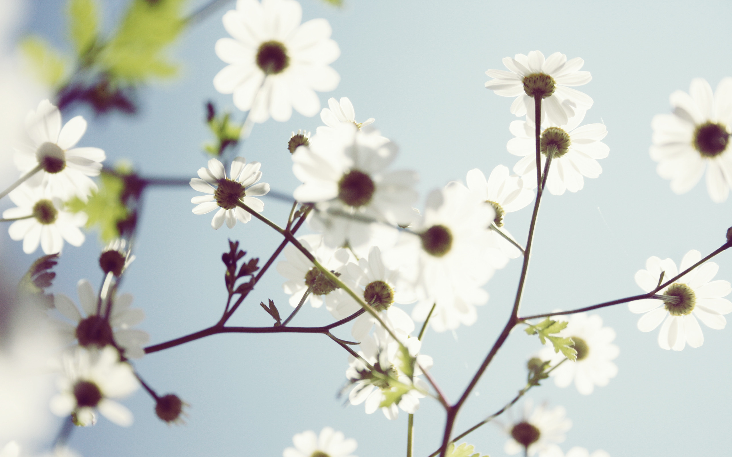 White flower wallpapers 71 background pictures nawak white flowers wallpaper by pierre lagarde mightylinksfo