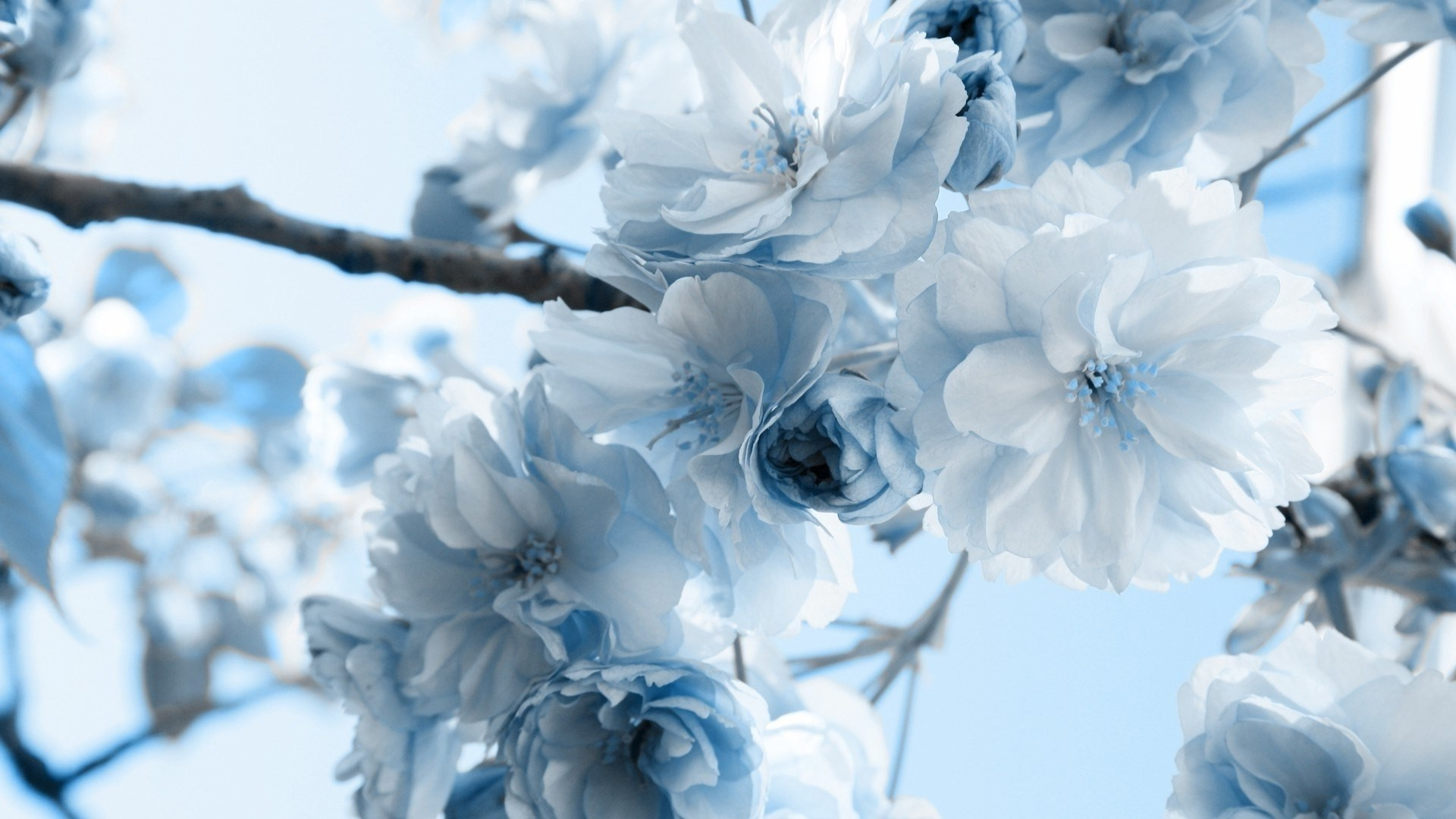 Blue flowers wallpapers 67 background pictures 1920x1080 blue flower wallpaper 7617 izmirmasajfo