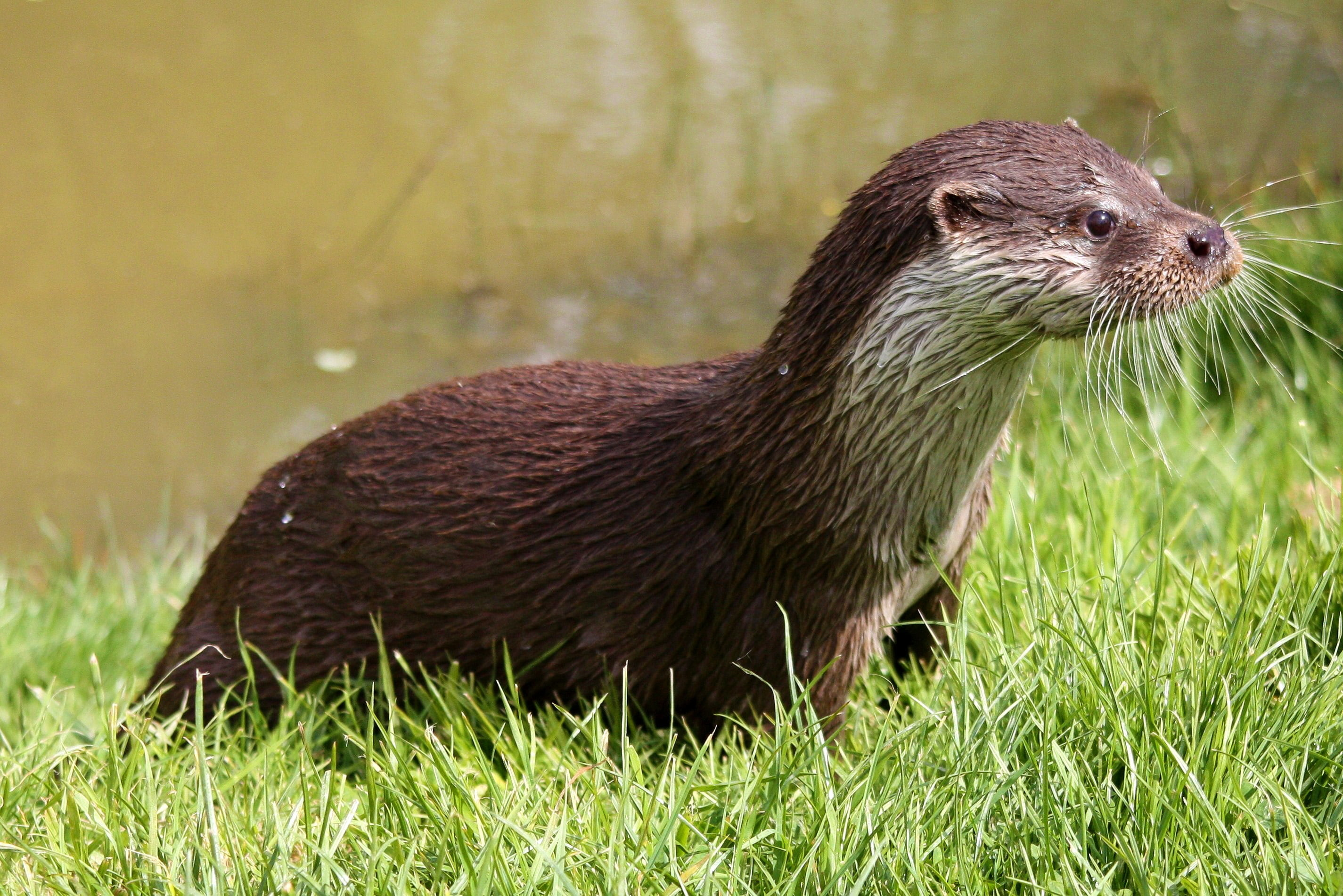 Otter Wallpapers 61 Background Pictures