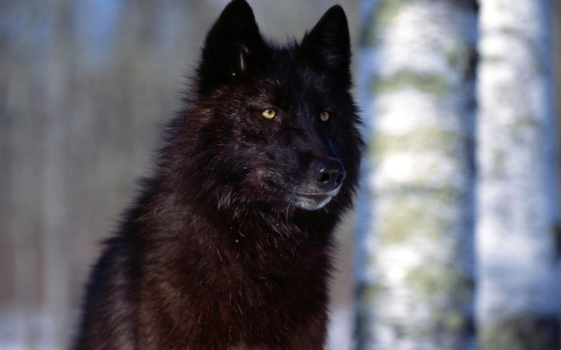 Black Wolf Wallpapers 70 Background Pictures