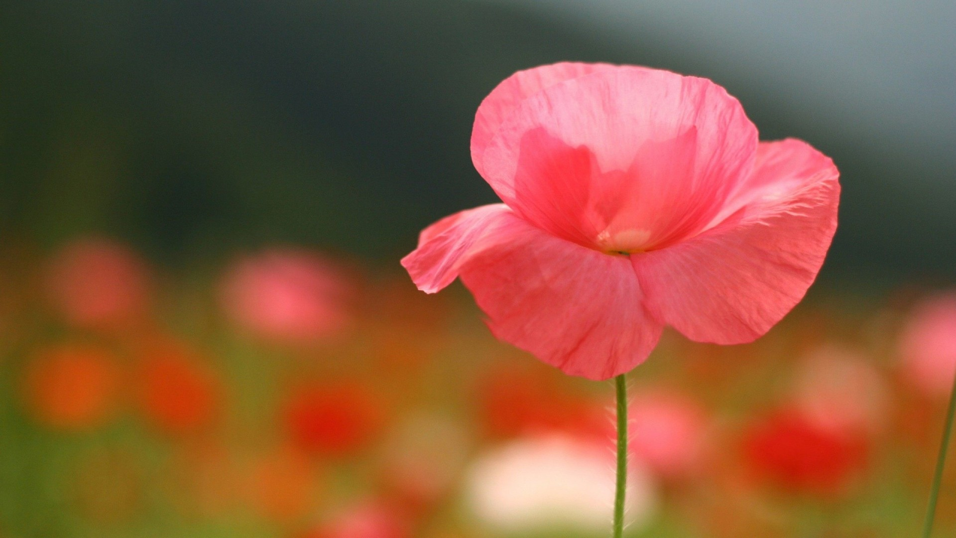 Single Flower Wallpapers: Single Flower Wallpapers (61+ Background Pictures