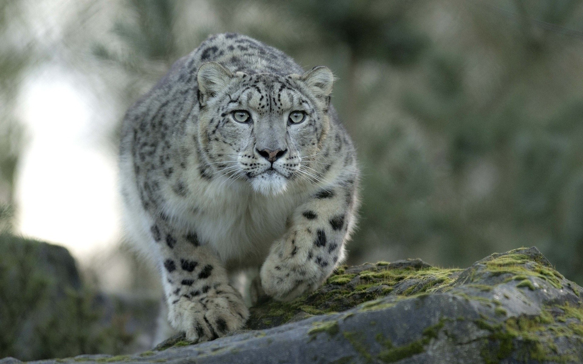 Snow Leopard Hd Wallpapers 70 Background Pictures