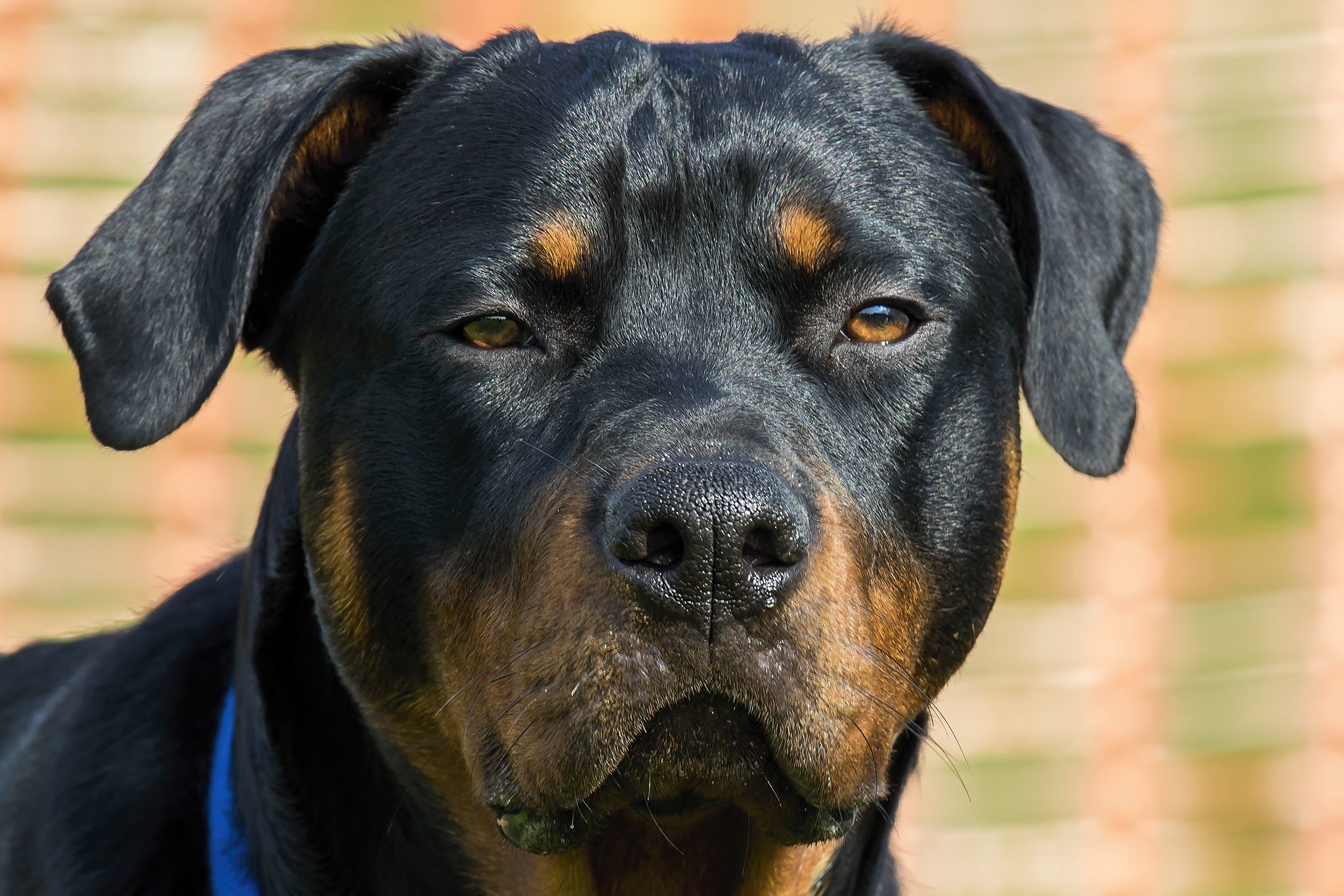 Rottweiler Wallpapers (61+ background pictures)