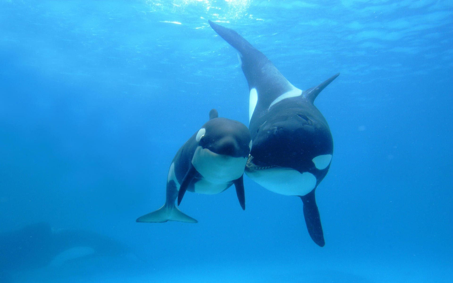 Orca Wallpapers HD Screenshot 3 Source Killer Whale 51 Background Pictures